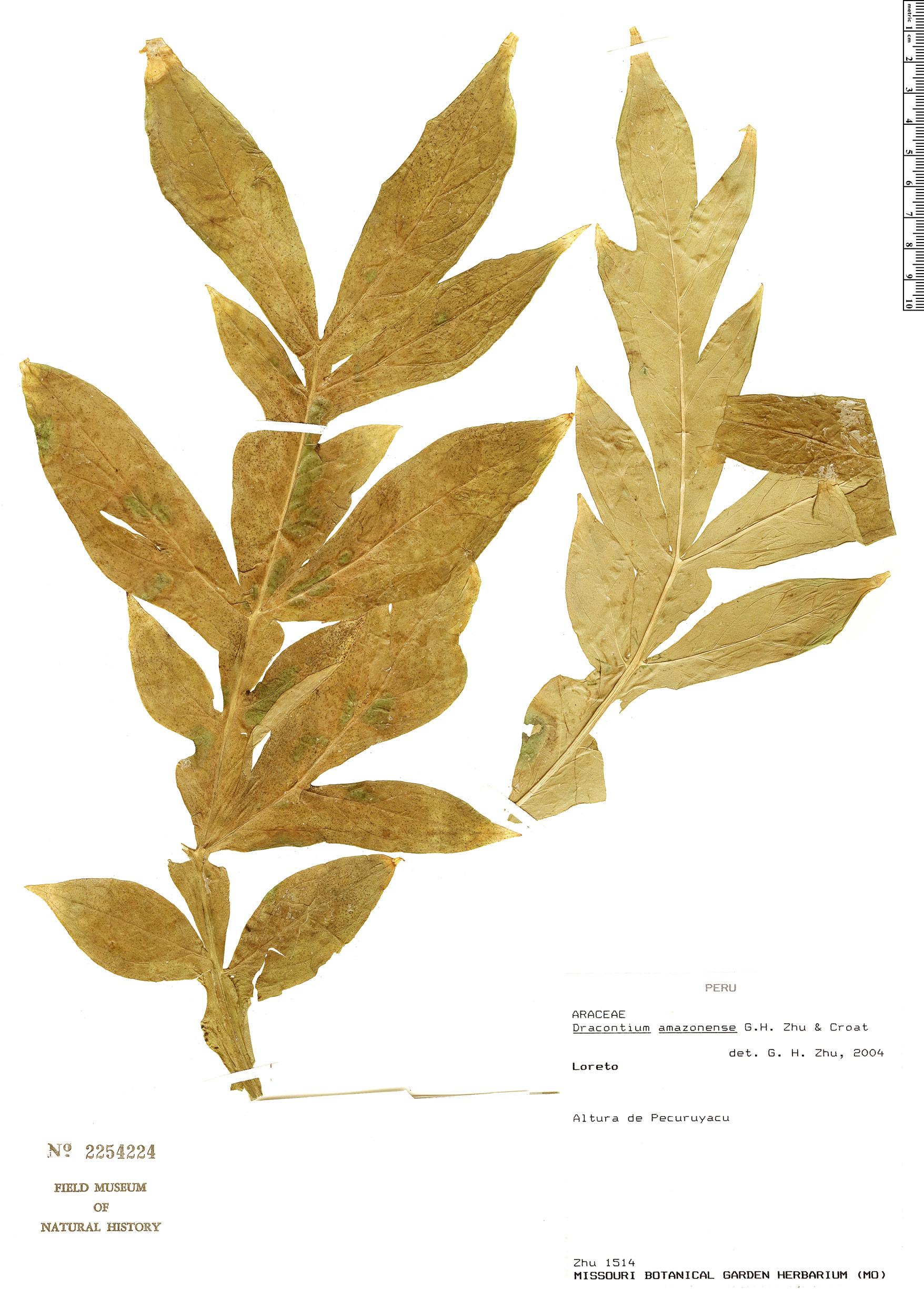 Specimen: Dracontium amazonense