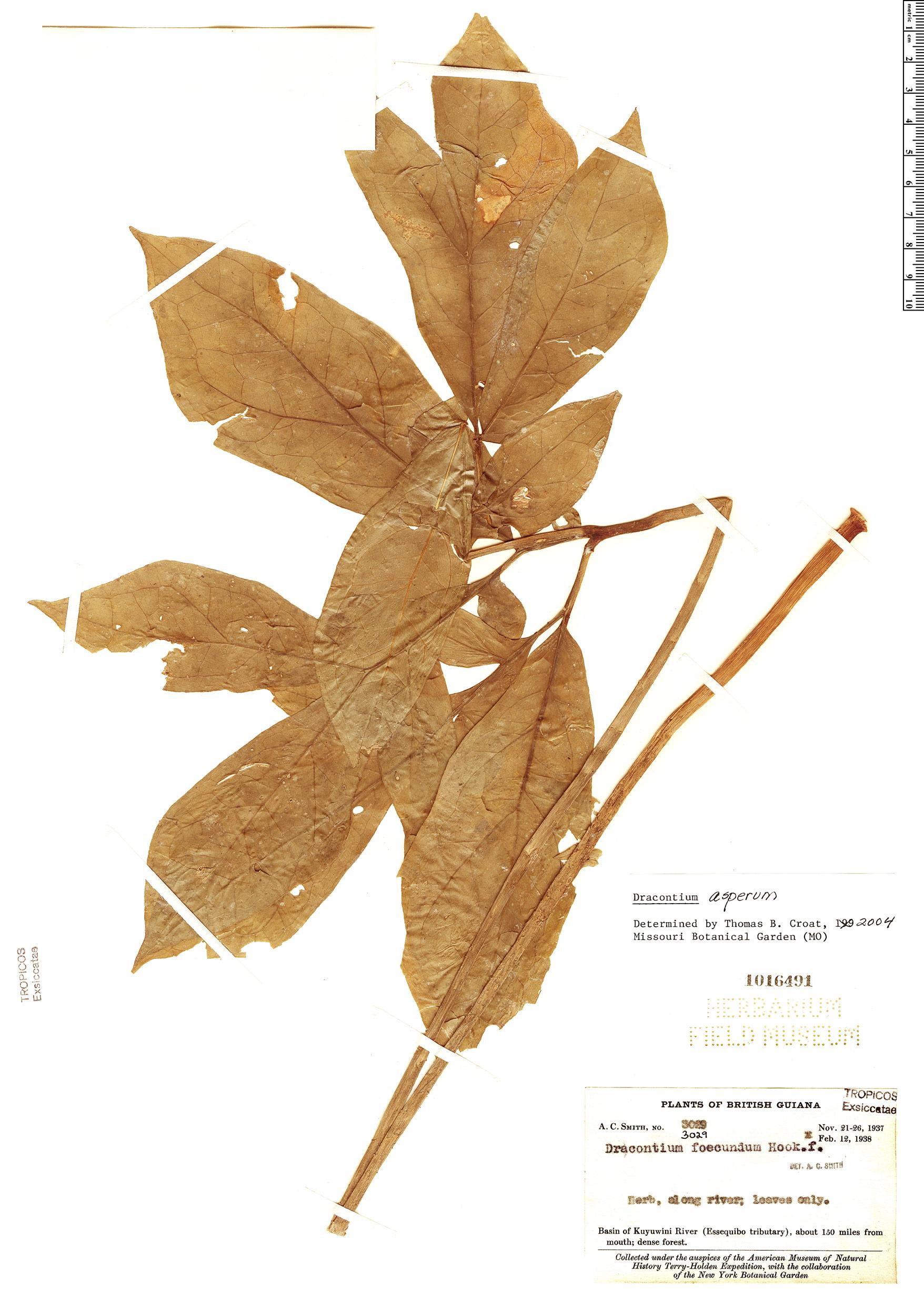 Specimen: Dracontium asperum