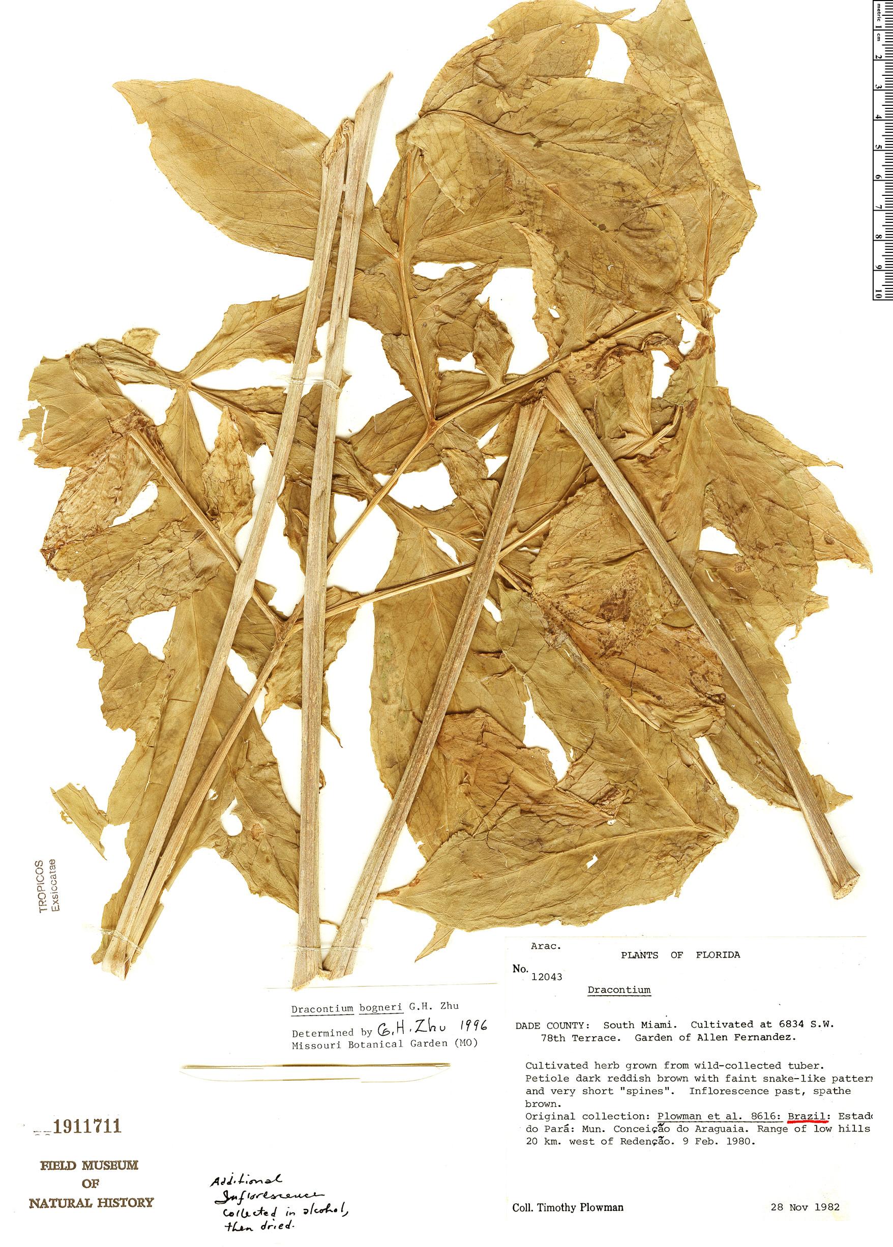 Specimen: Dracontium bogneri