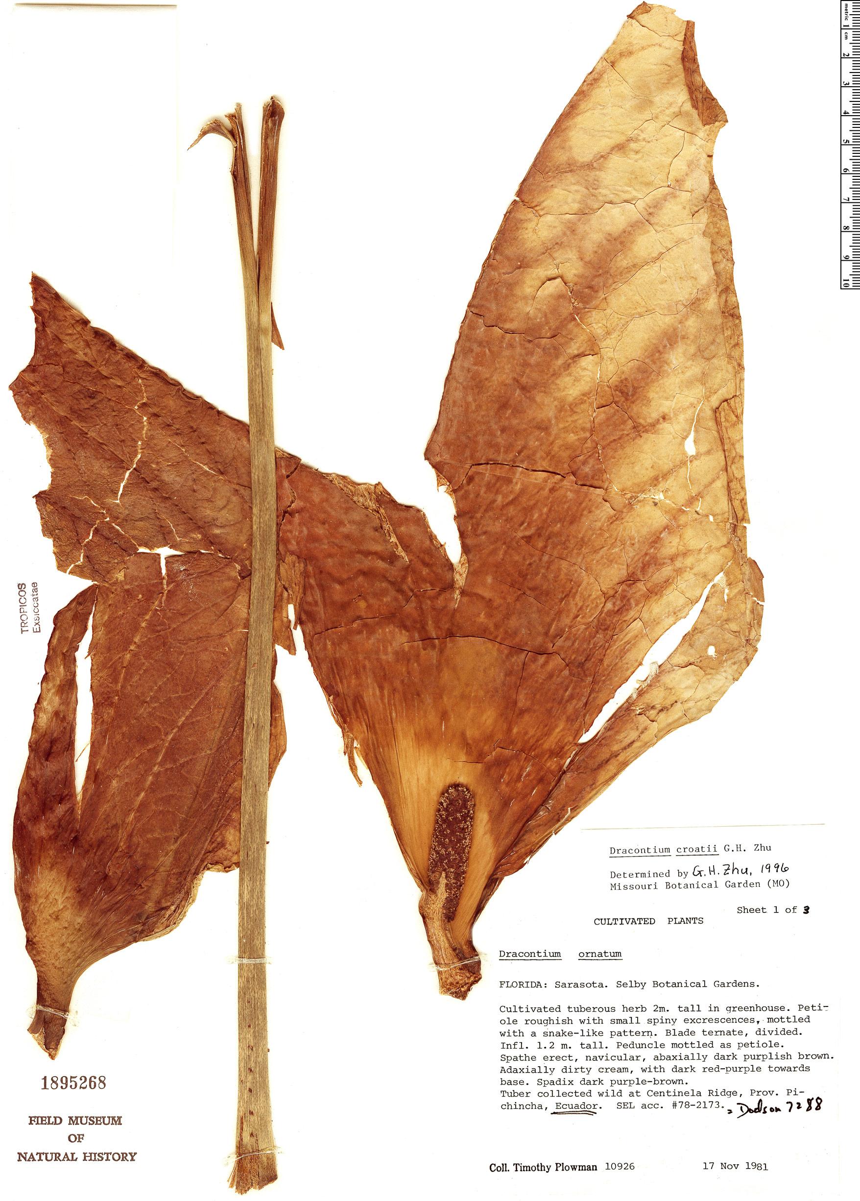 Specimen: Dracontium croatii