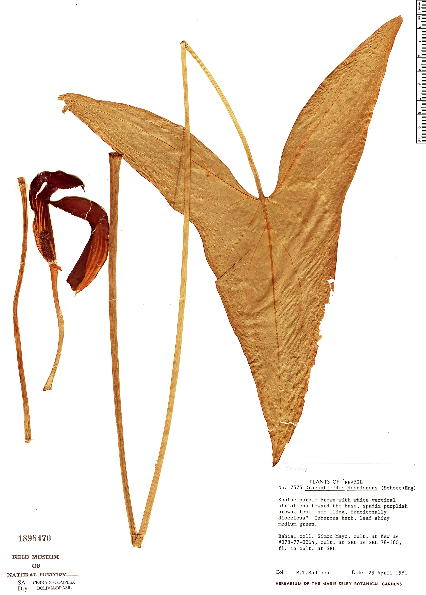 Specimen: Dracontioides desciscens