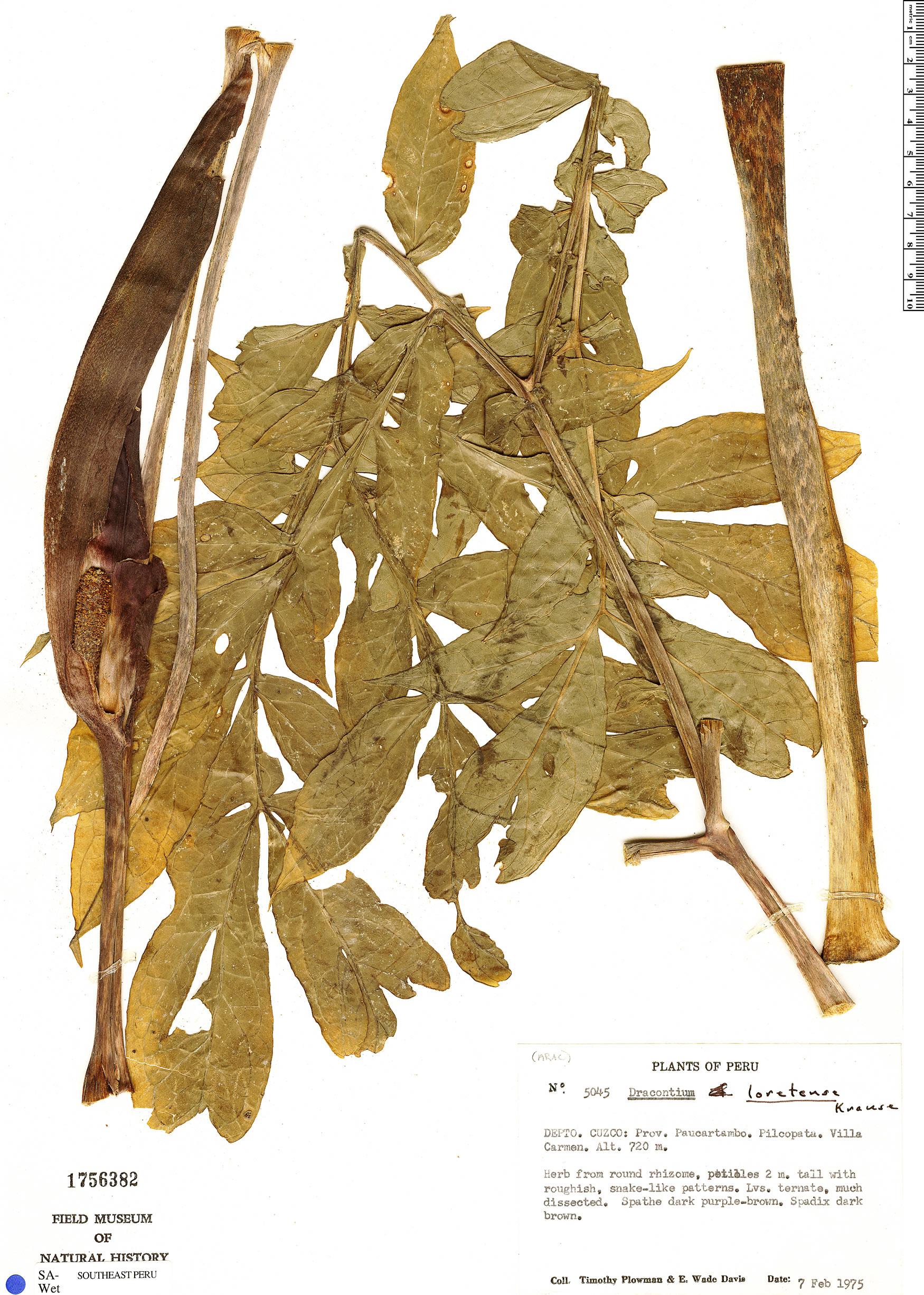Specimen: Dracontium plowmanii