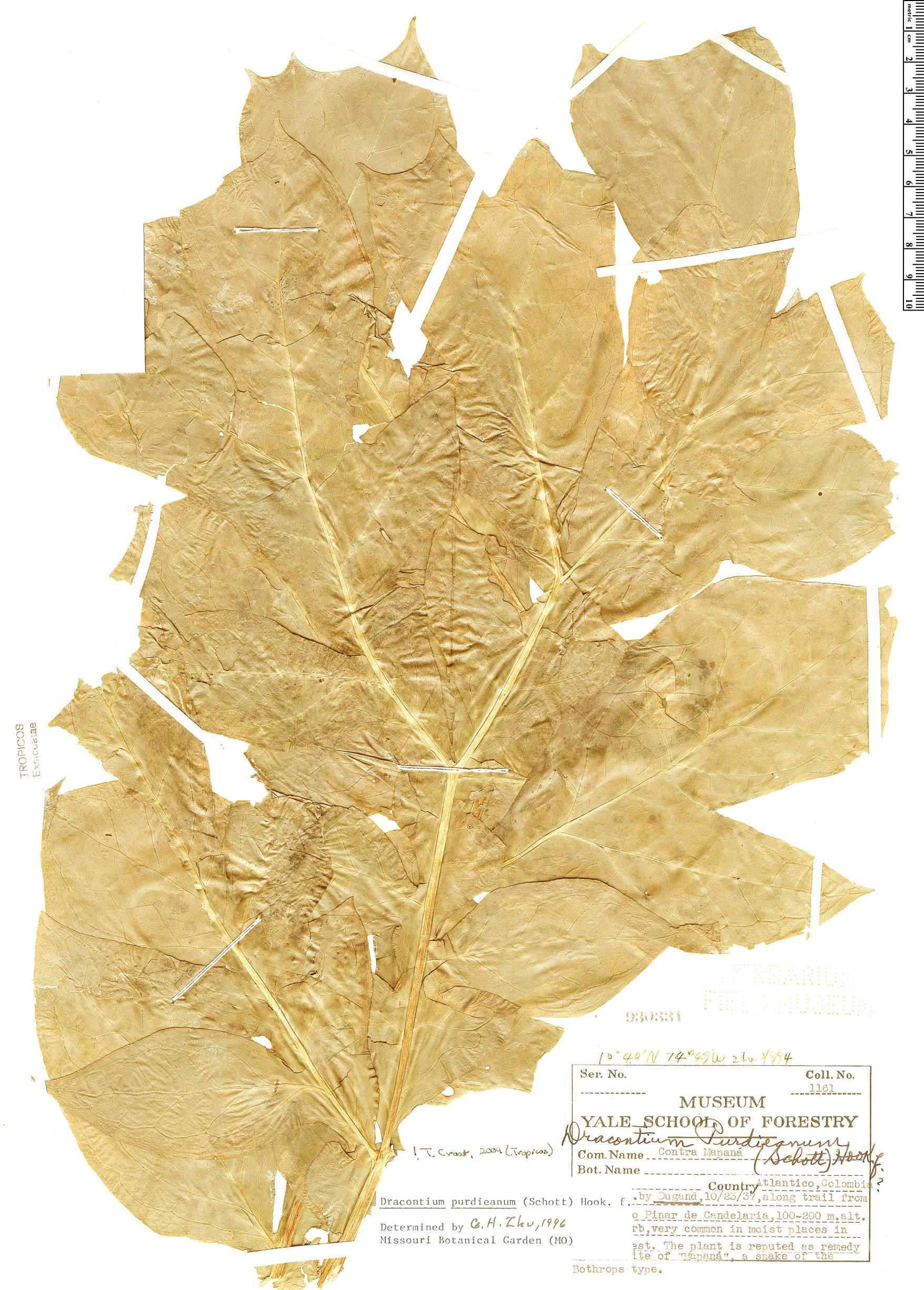 Specimen: Dracontium purdieanum
