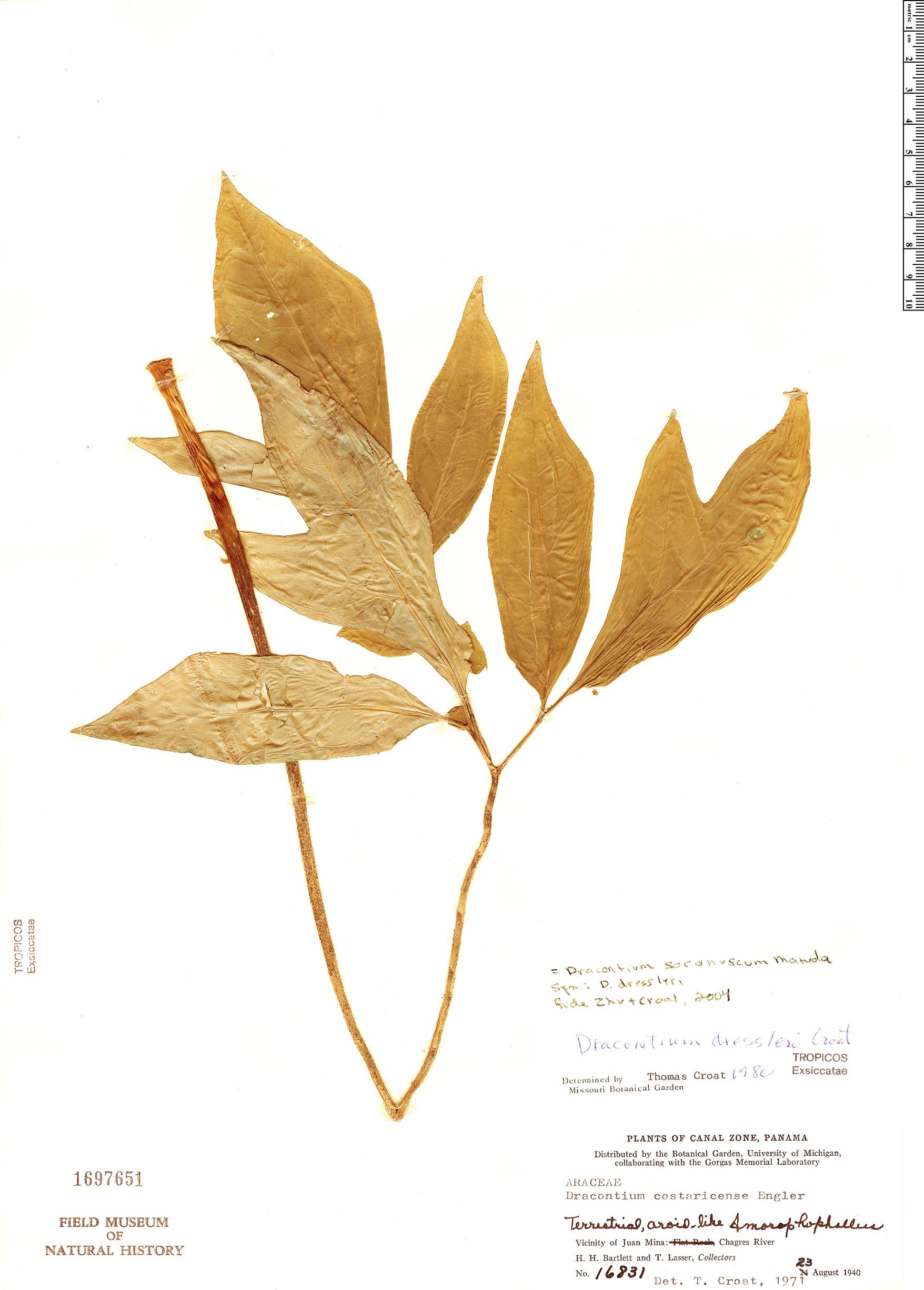 Specimen: Dracontium soconuscum