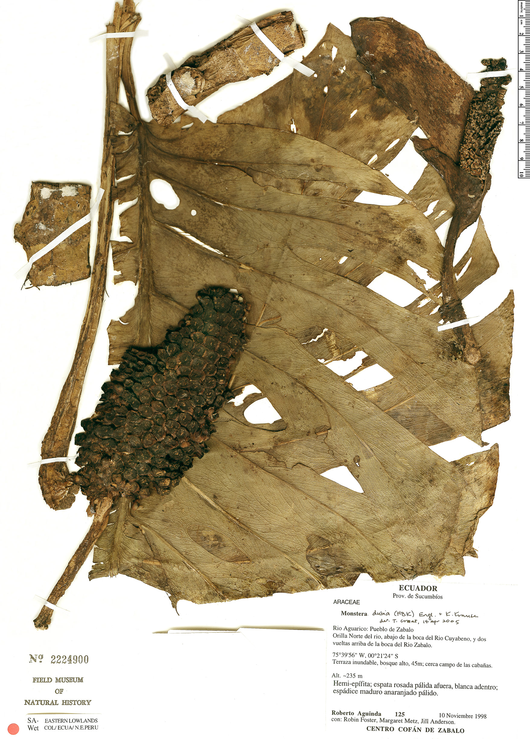 Specimen: Monstera dubia