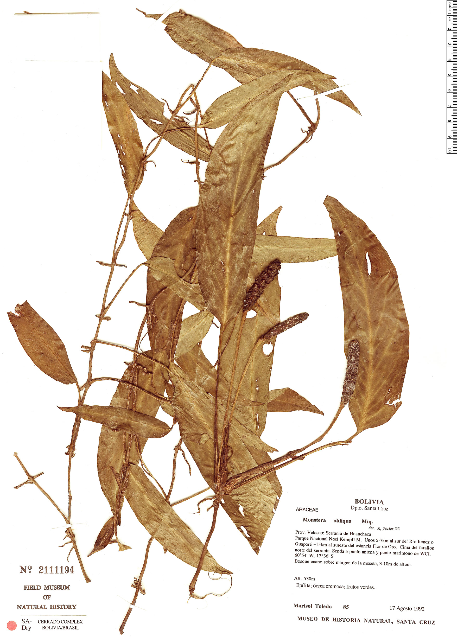 Specimen: Monstera obliqua