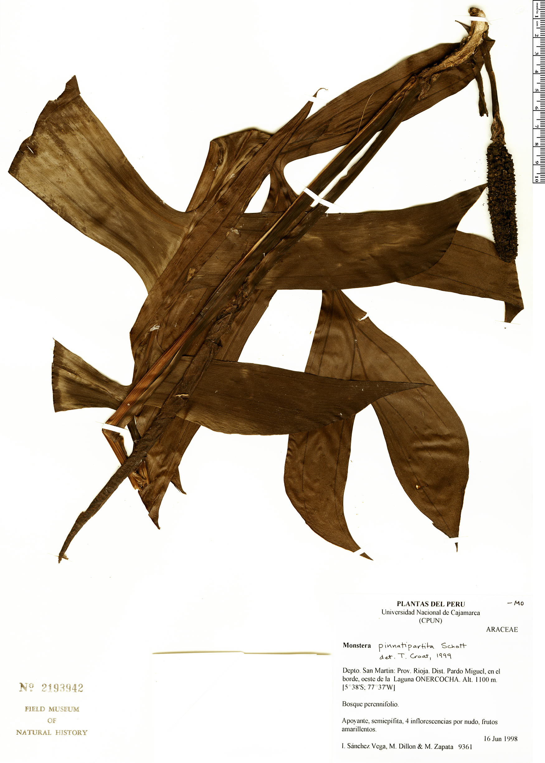 Specimen: Monstera pinnatipartita