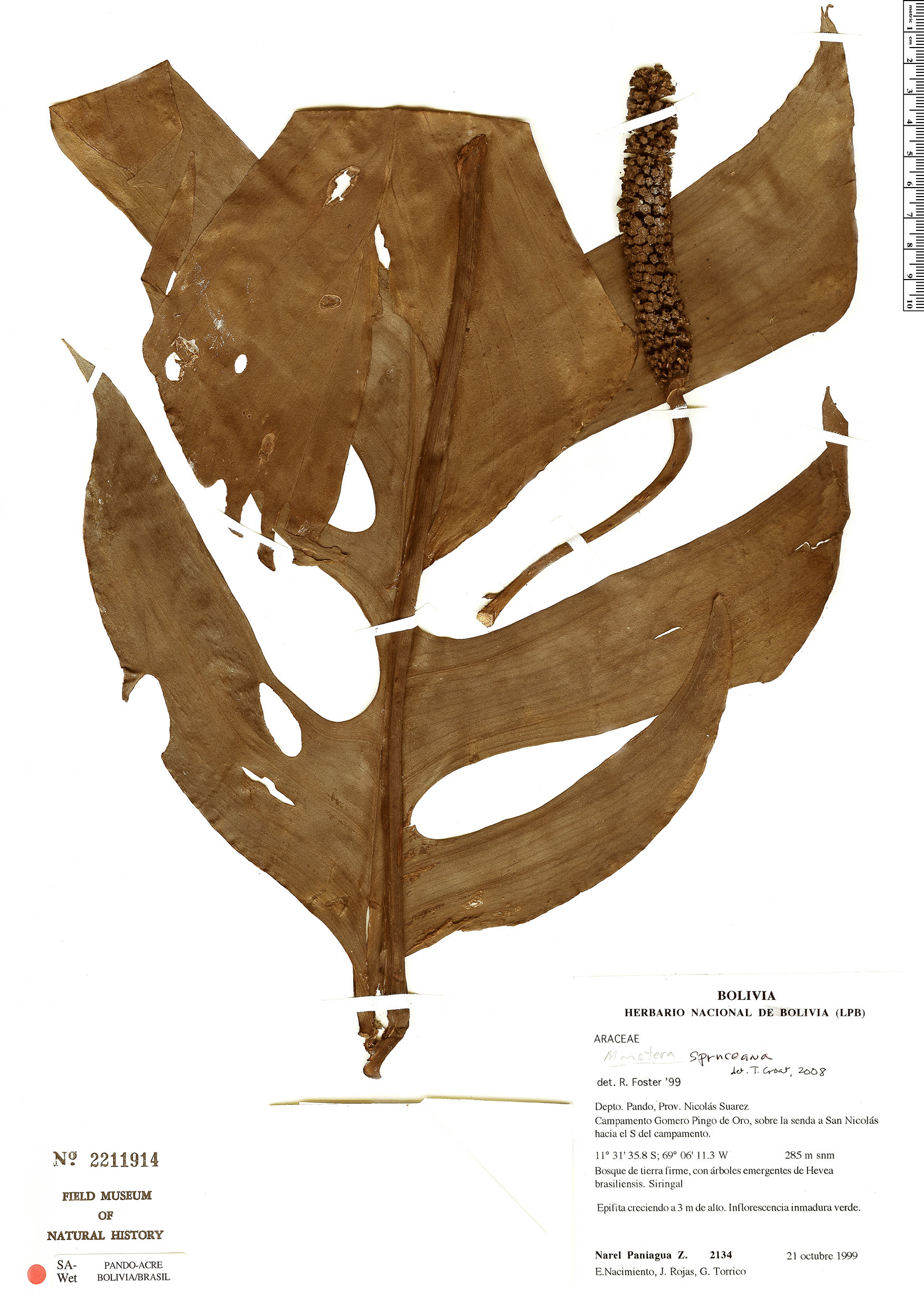 Specimen: Monstera spruceana
