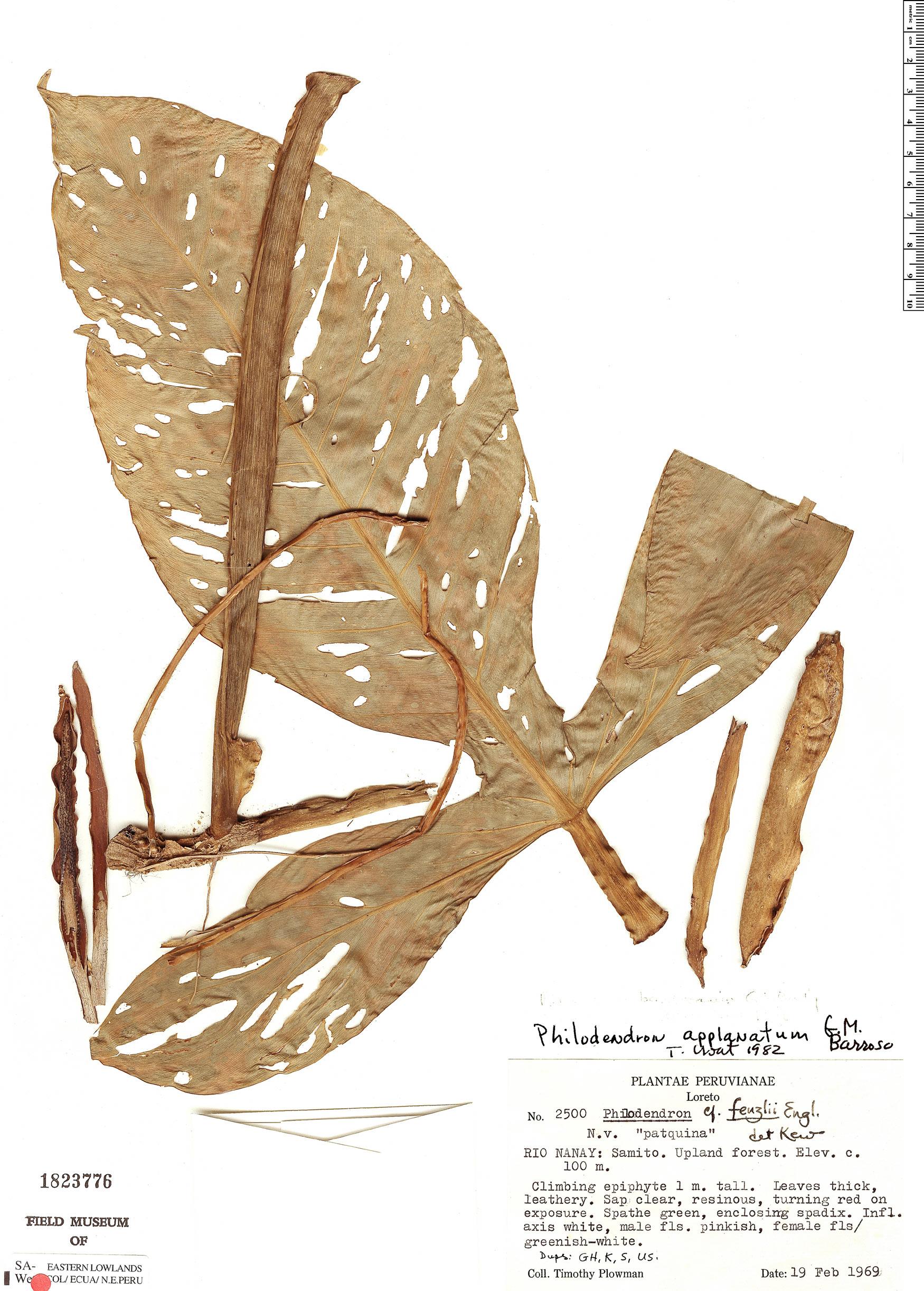 Specimen: Philodendron applanatum