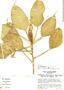 Philodendron aurantiifolium image