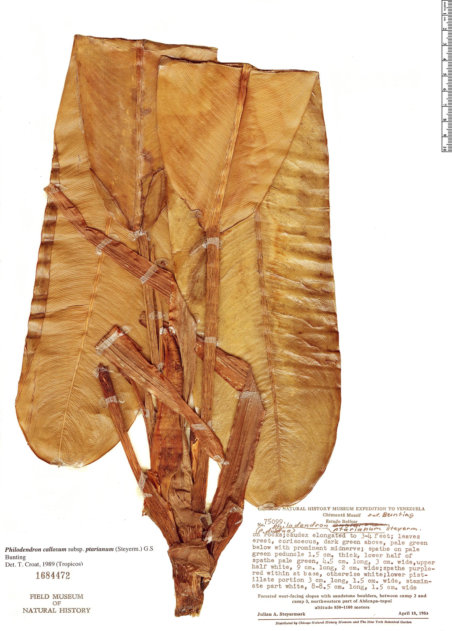 Specimen: Philodendron callosum