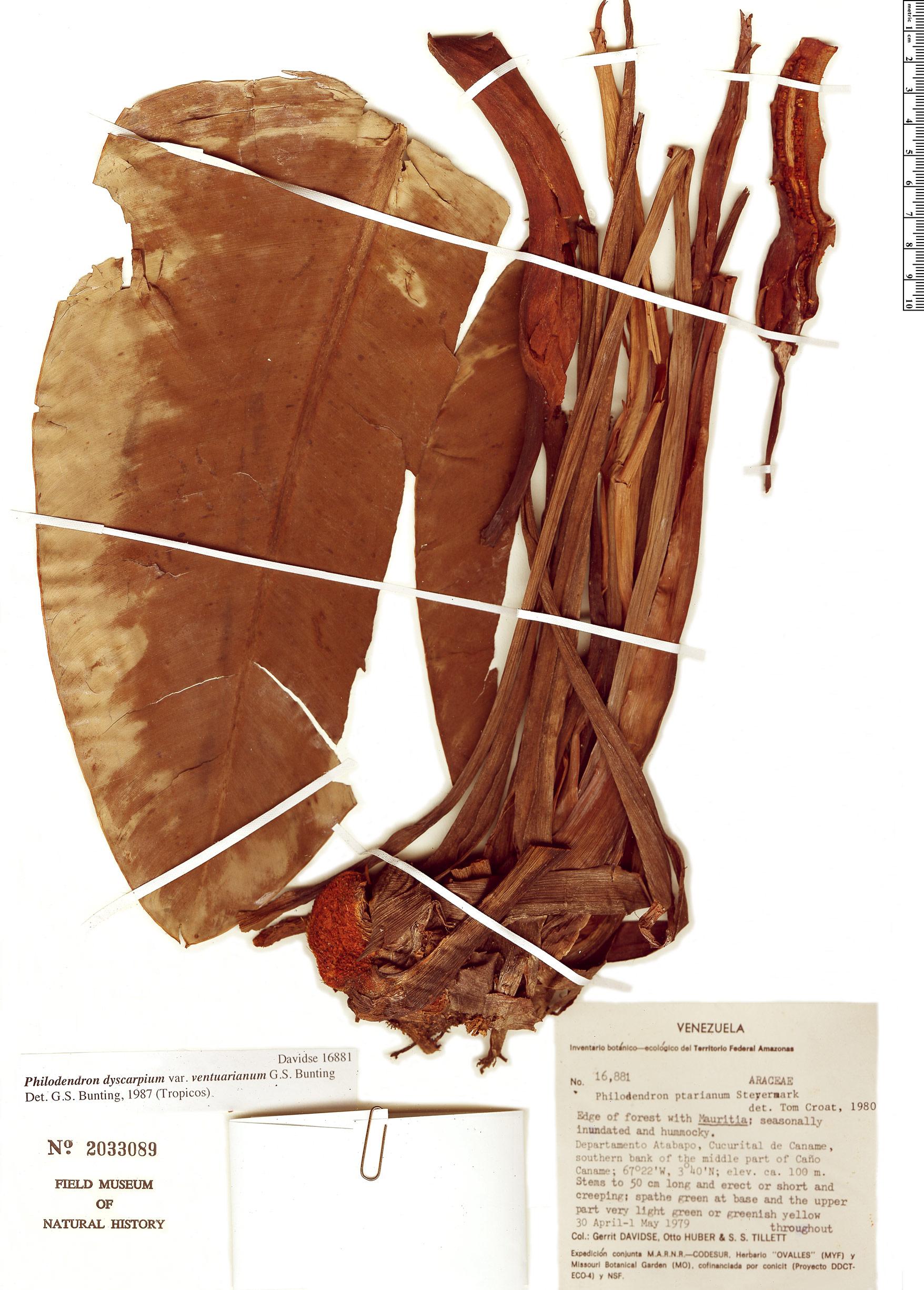 Specimen: Philodendron dyscarpium