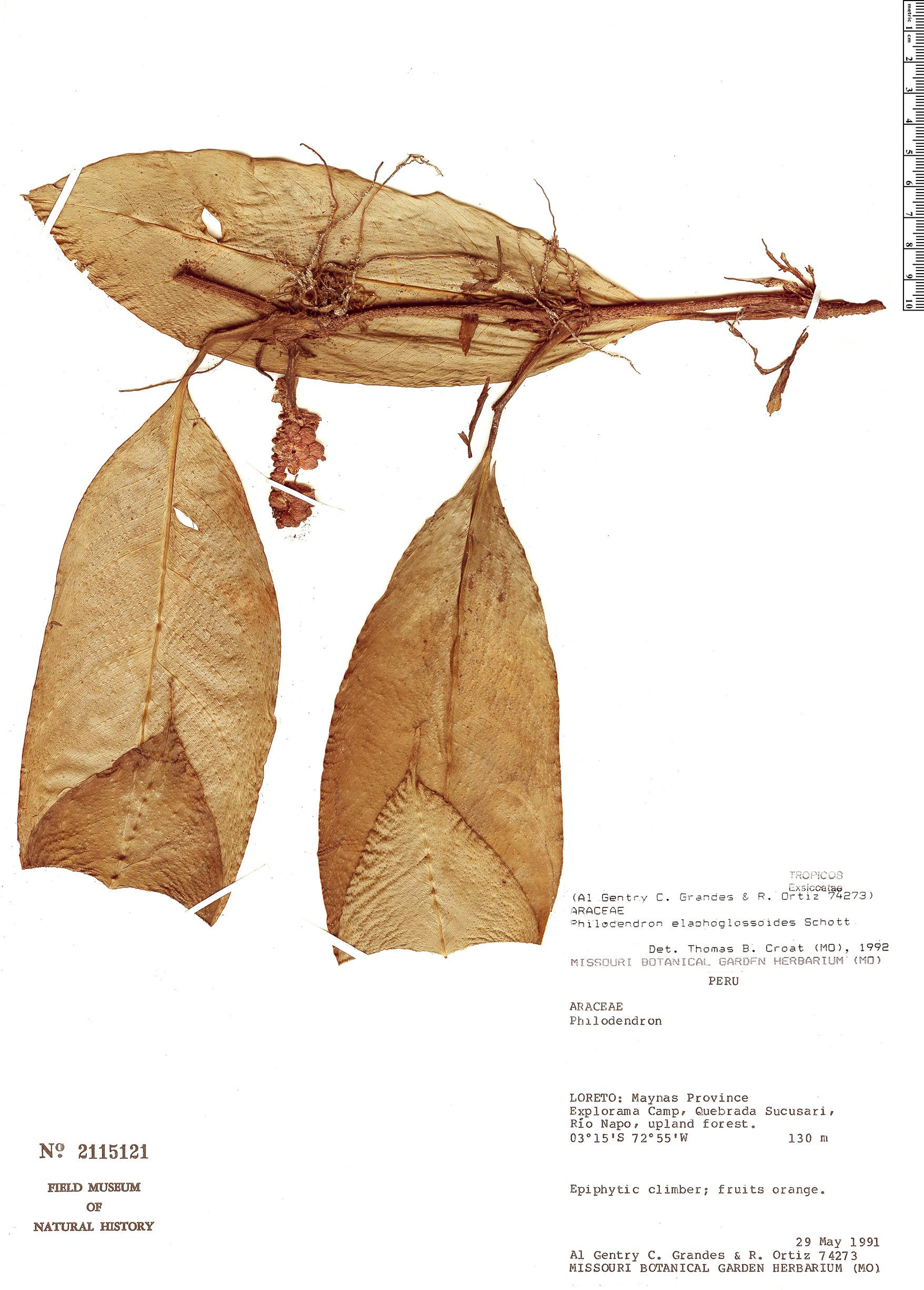 Specimen: Philodendron elaphoglossoides