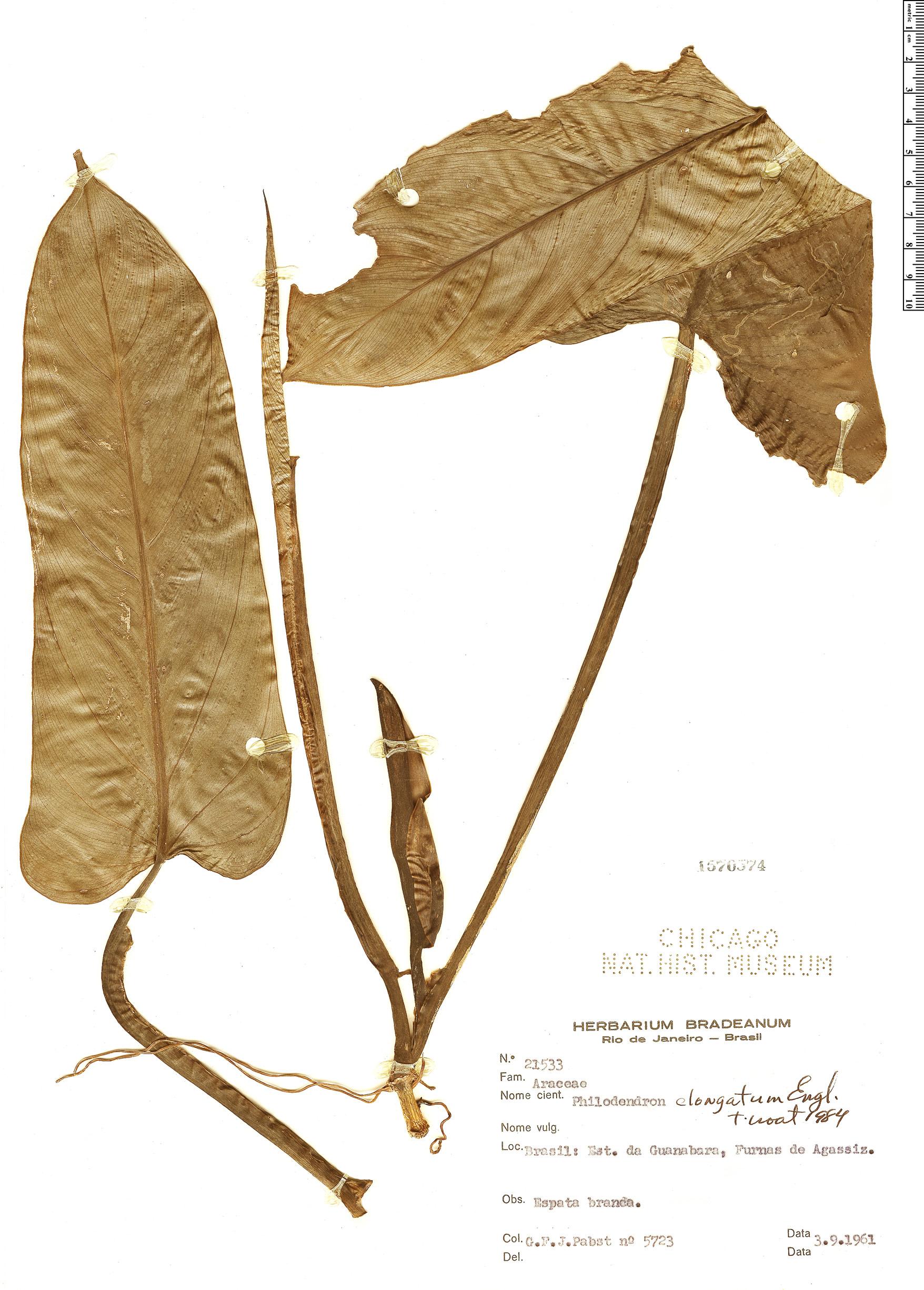 Specimen: Philodendron elongatum