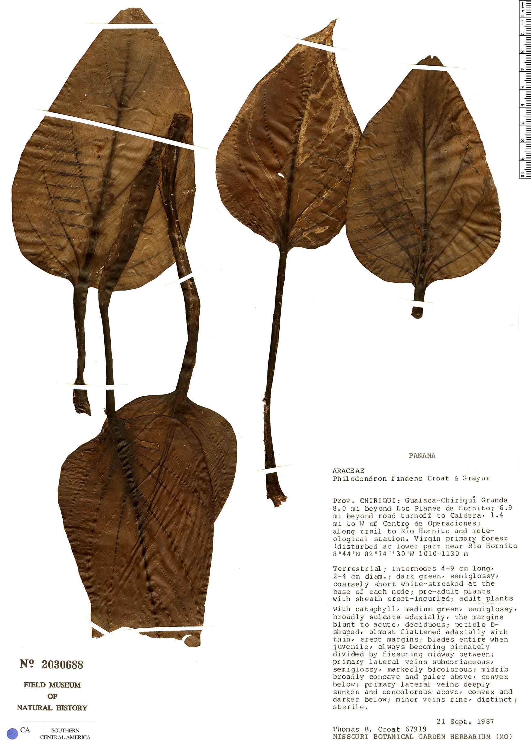 Specimen: Philodendron findens