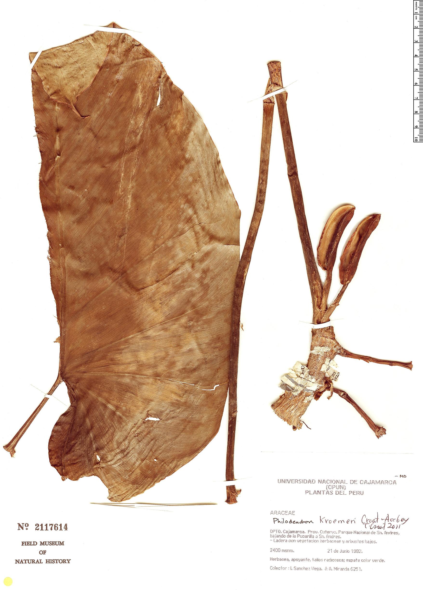 Espécimen: Philodendron kroemeri