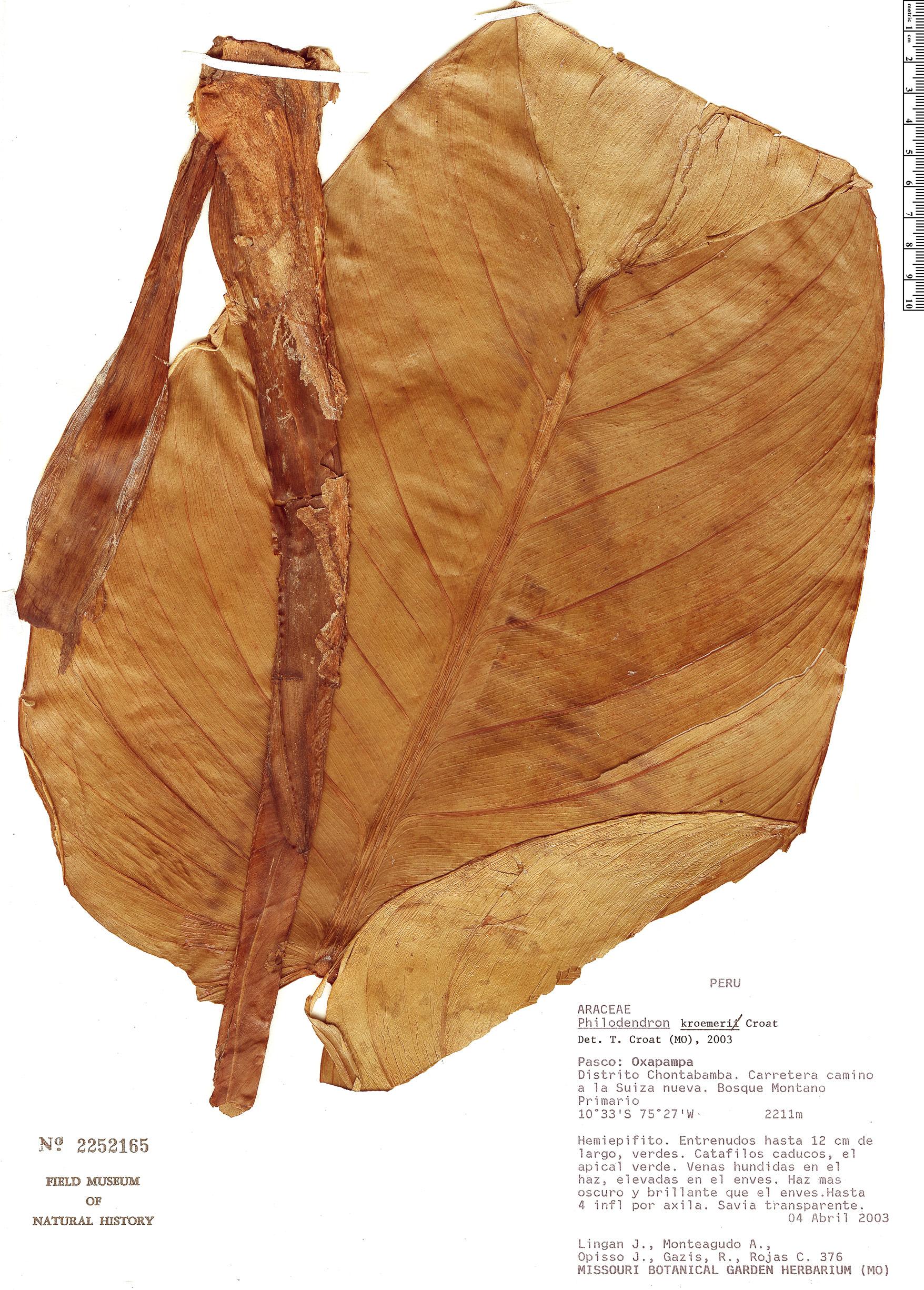 Specimen: Philodendron kroemeri