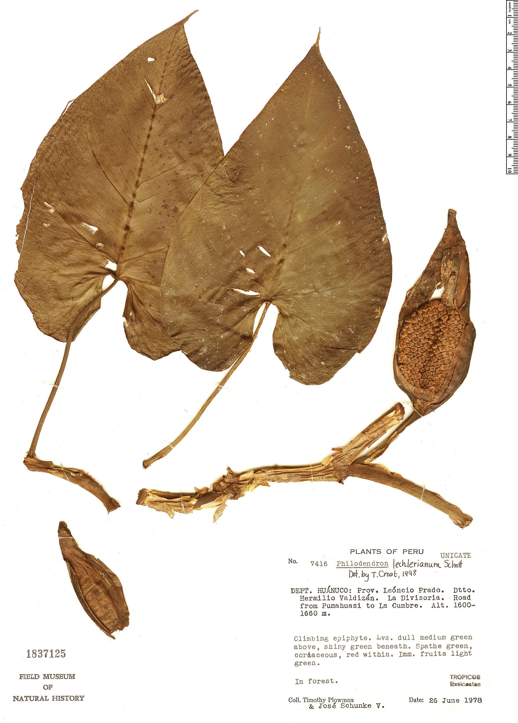 Specimen: Philodendron lechlerianum