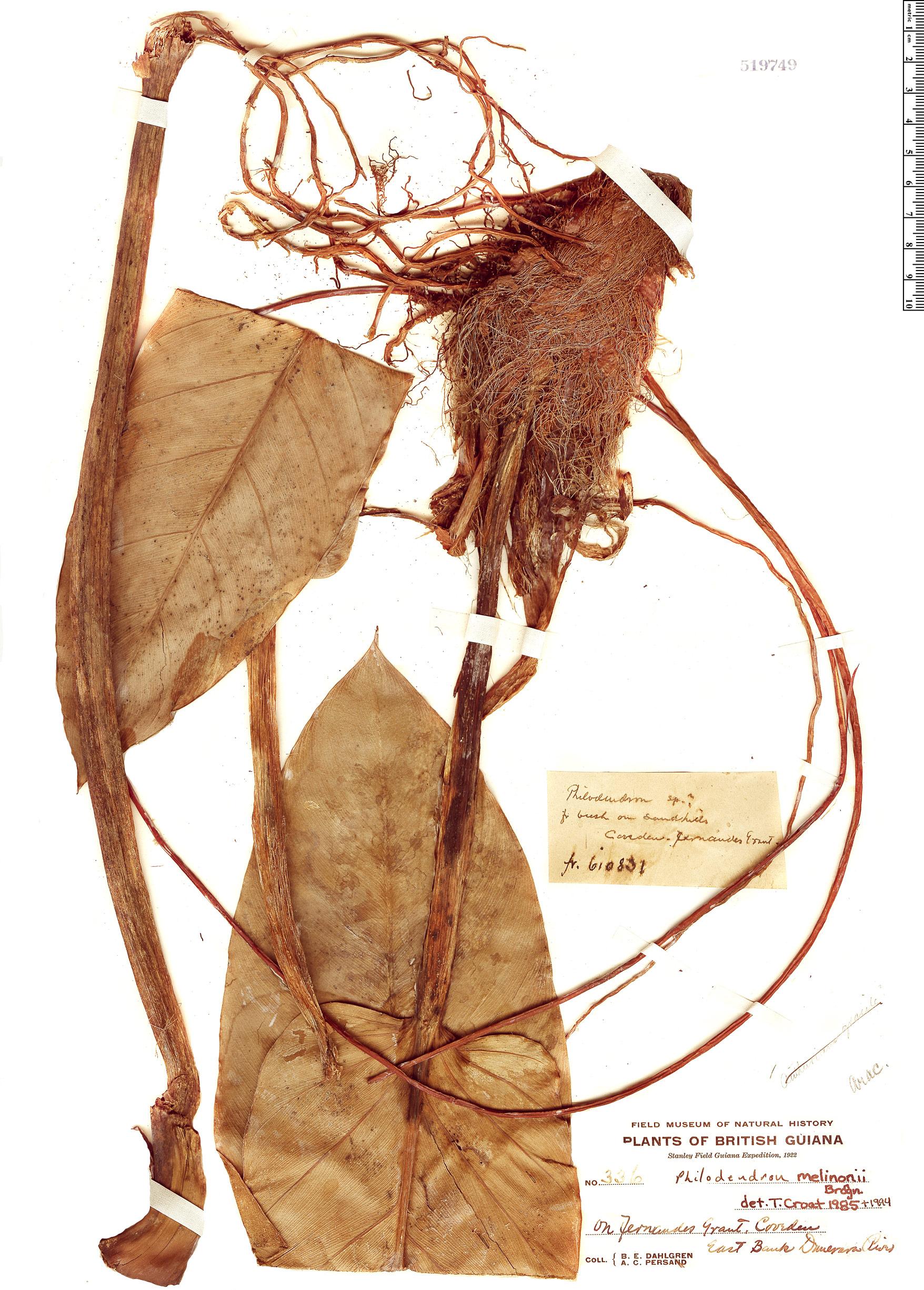 Specimen: Philodendron melinonii