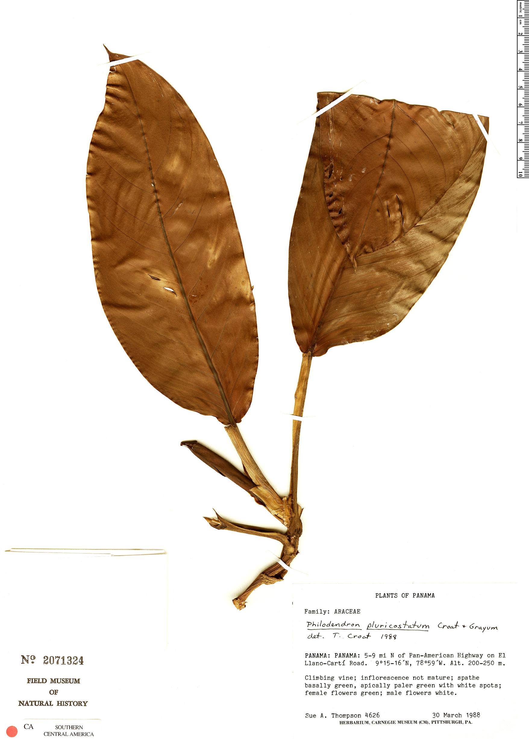 Specimen: Philodendron alliodorum