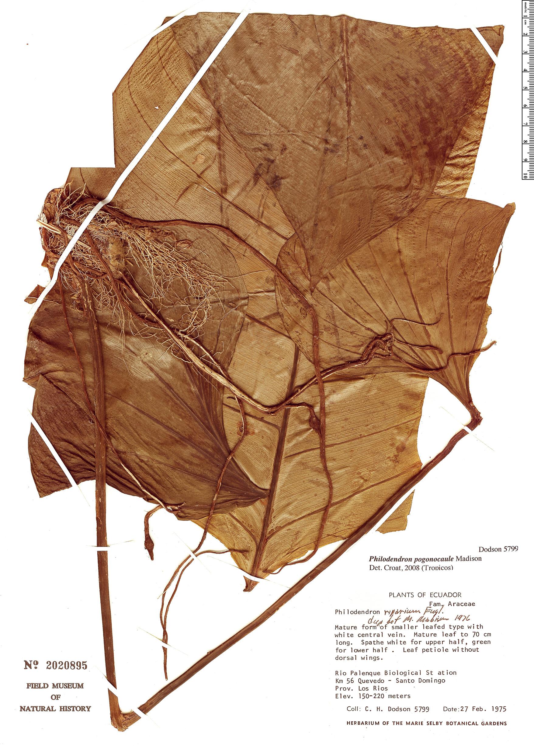 Specimen: Philodendron pogonocaule