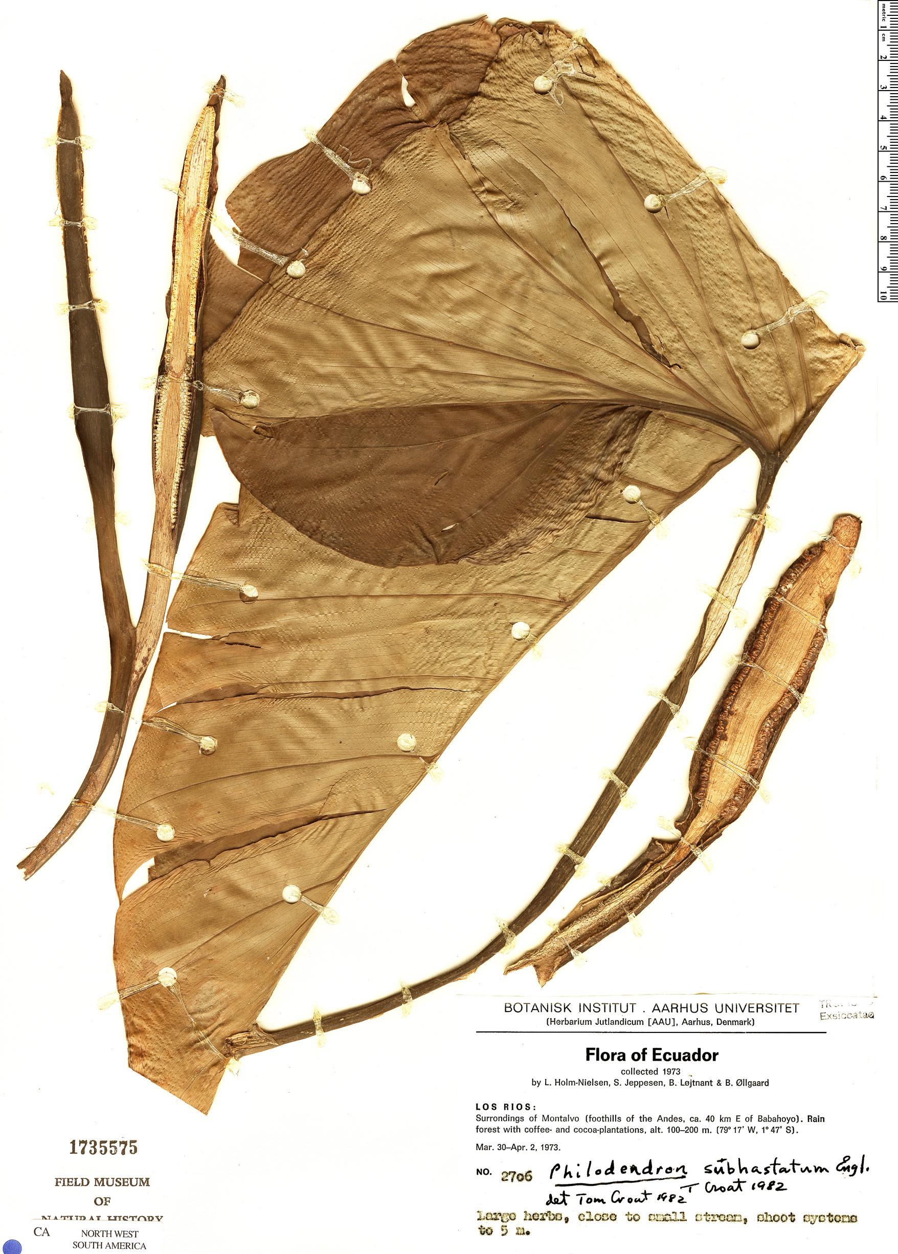 Specimen: Philodendron subhastatum