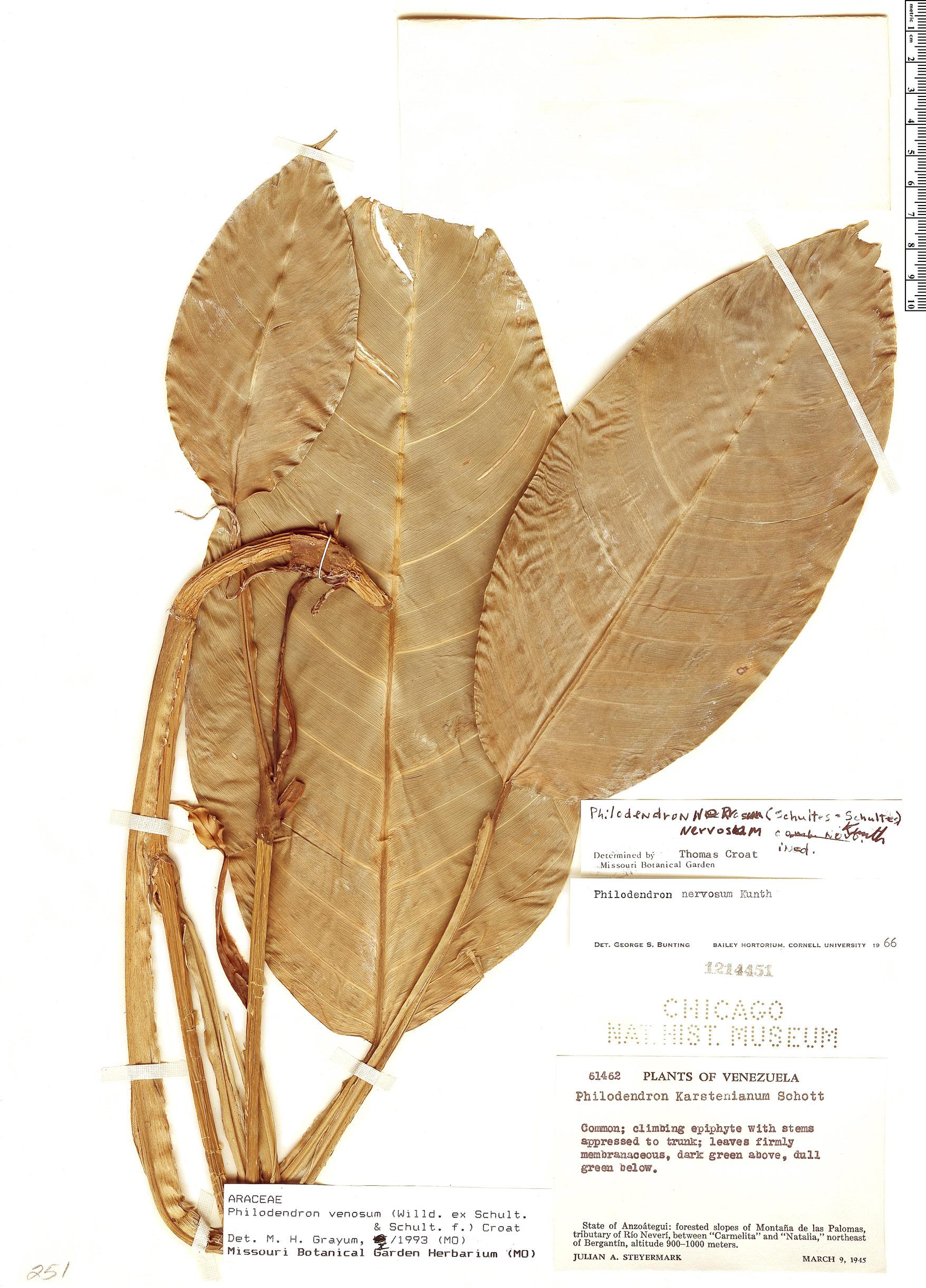 Specimen: Philodendron venosum