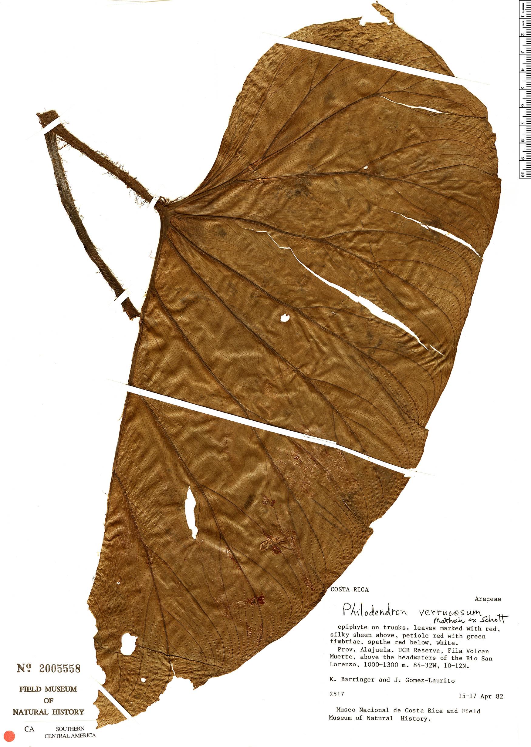Specimen: Philodendron verrucosum