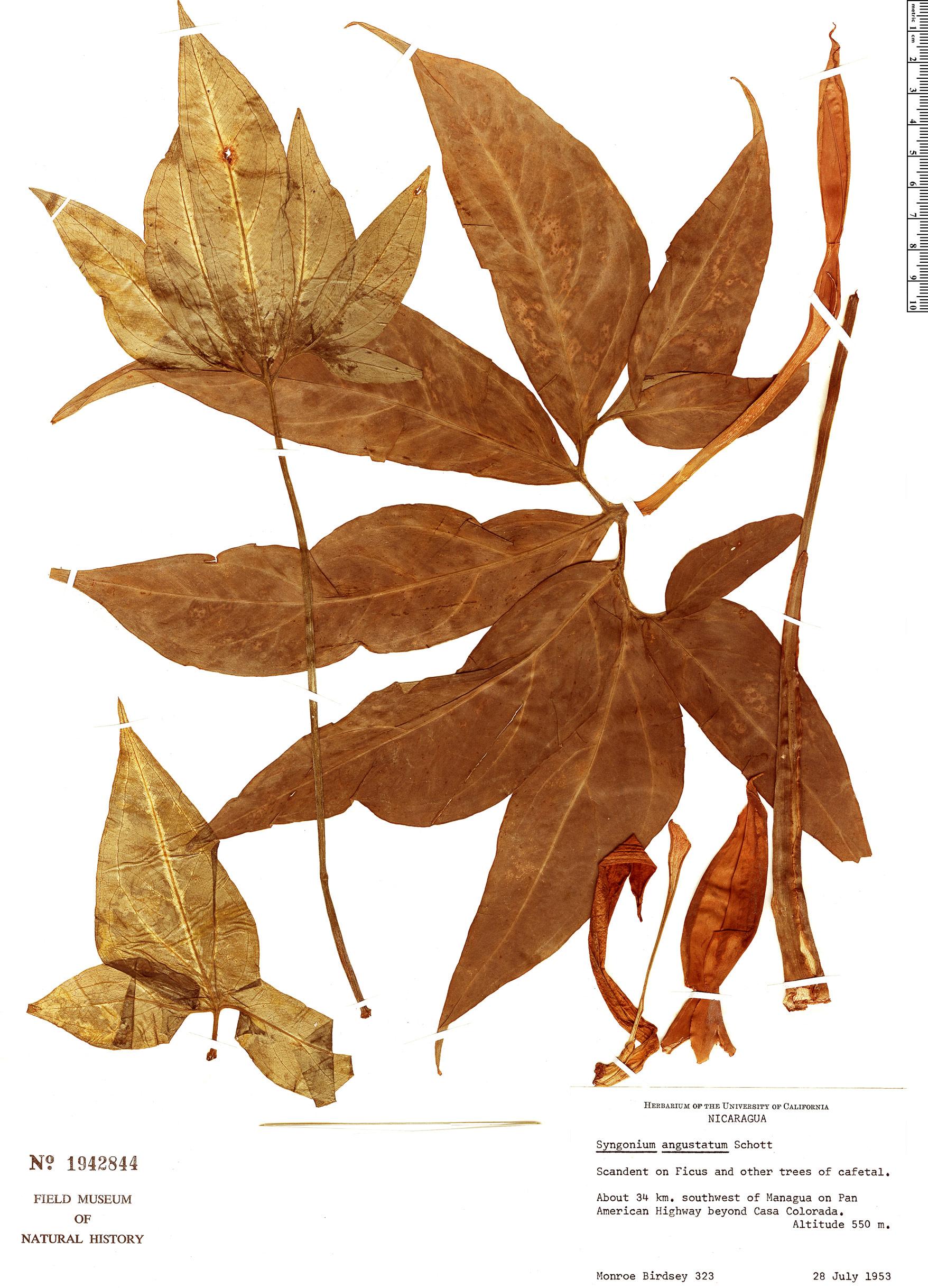 Specimen: Syngonium angustatum