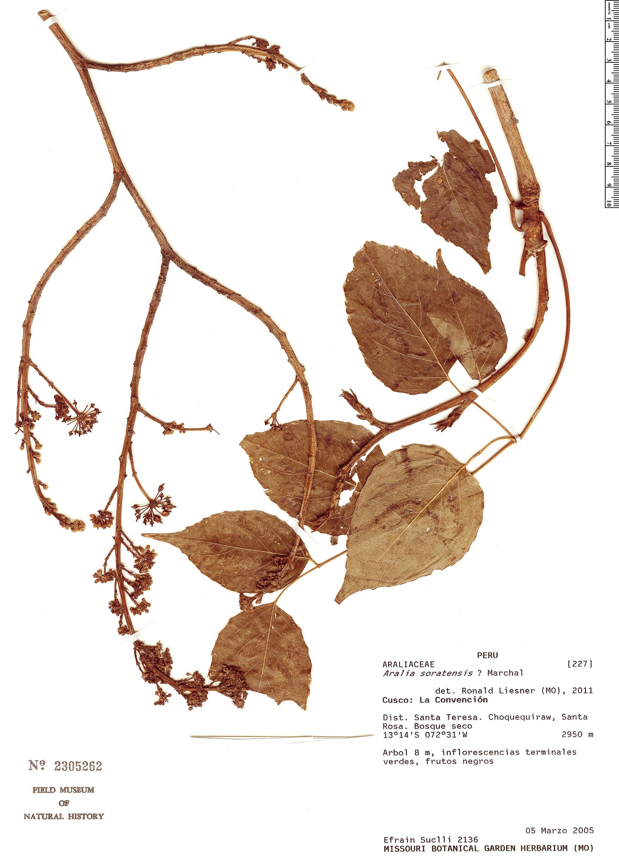 Specimen: Aralia soratensis