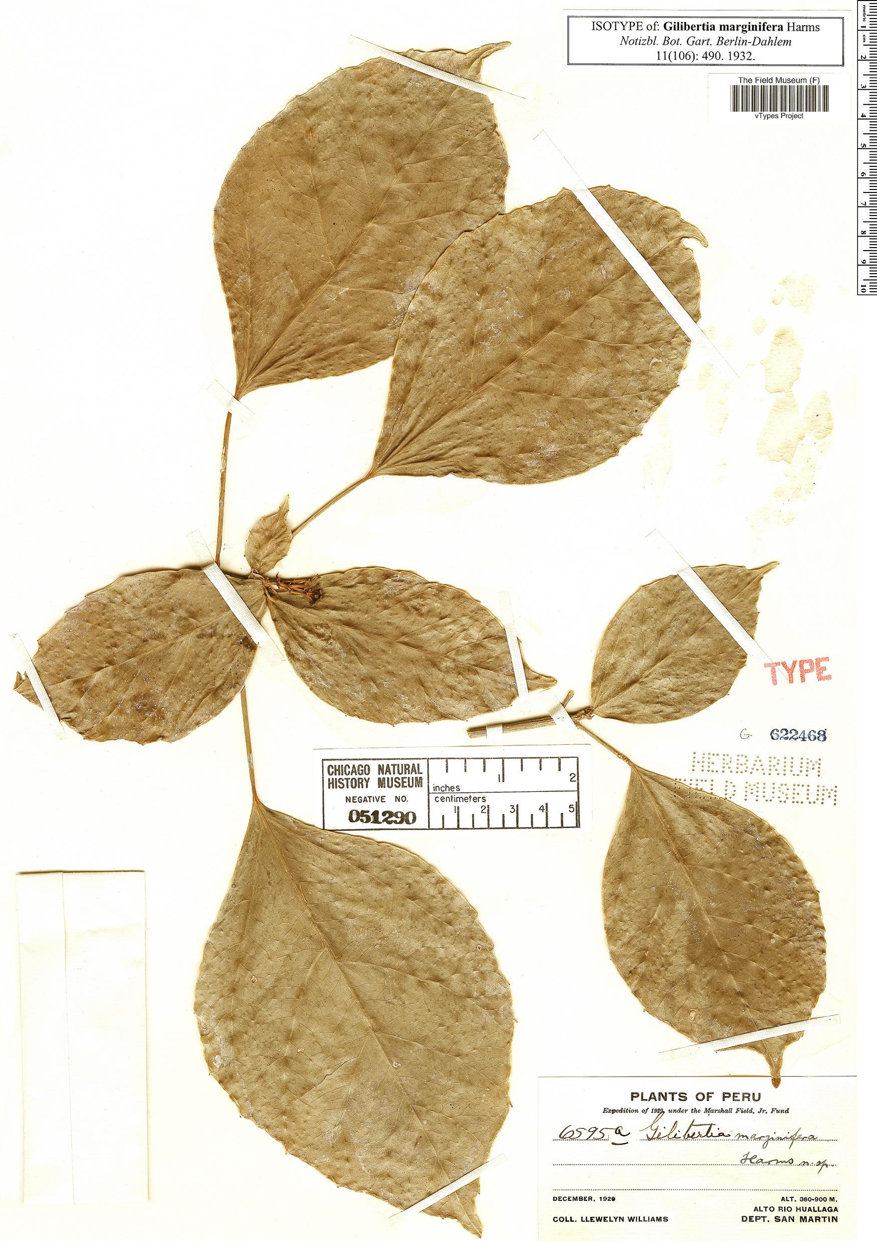 Specimen: Dendropanax marginiferus