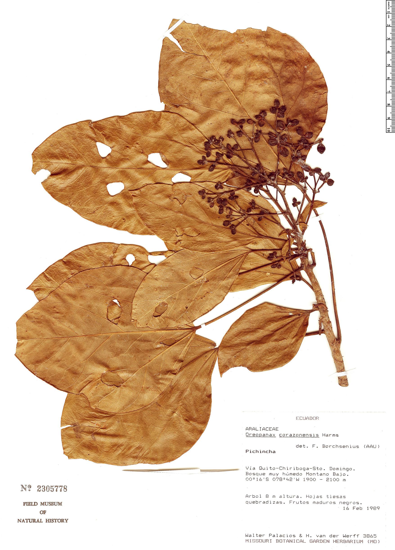 Specimen: Oreopanax corazonensis