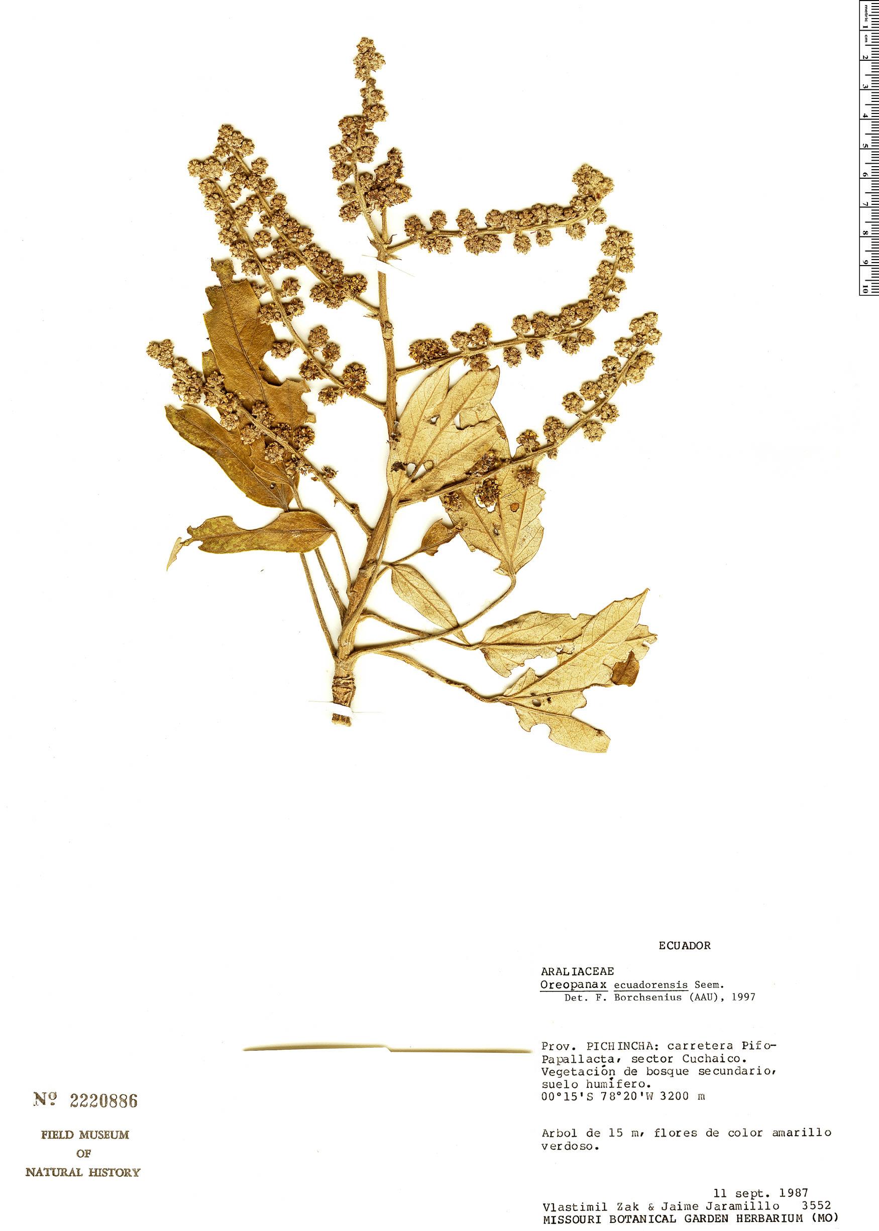 Specimen: Oreopanax ecuadorensis