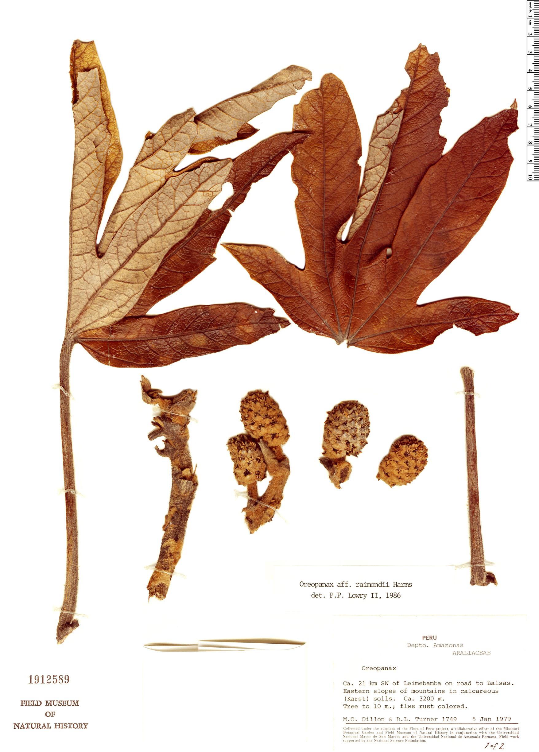 Specimen: Oreopanax raimondii