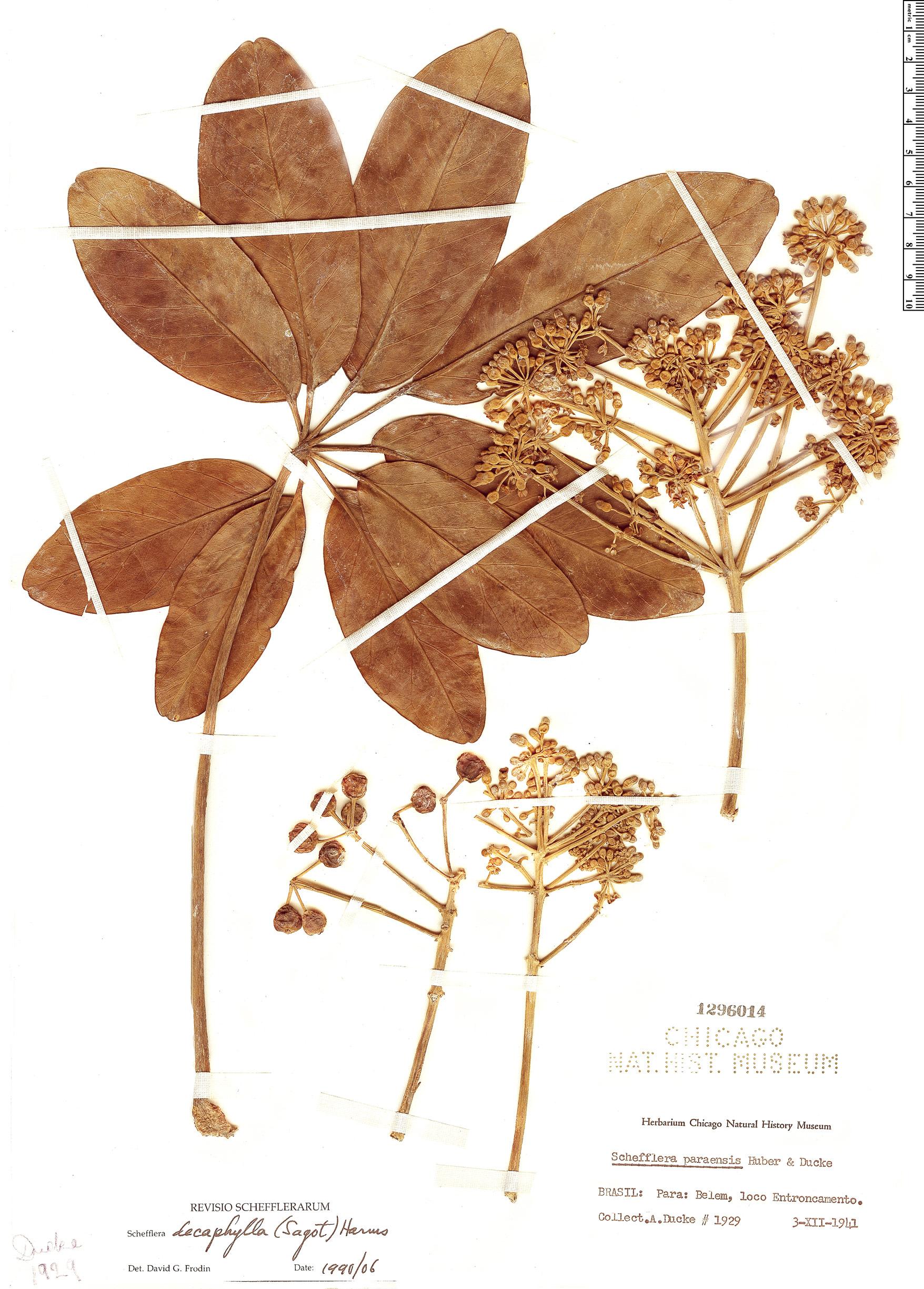 Specimen: Schefflera decaphylla