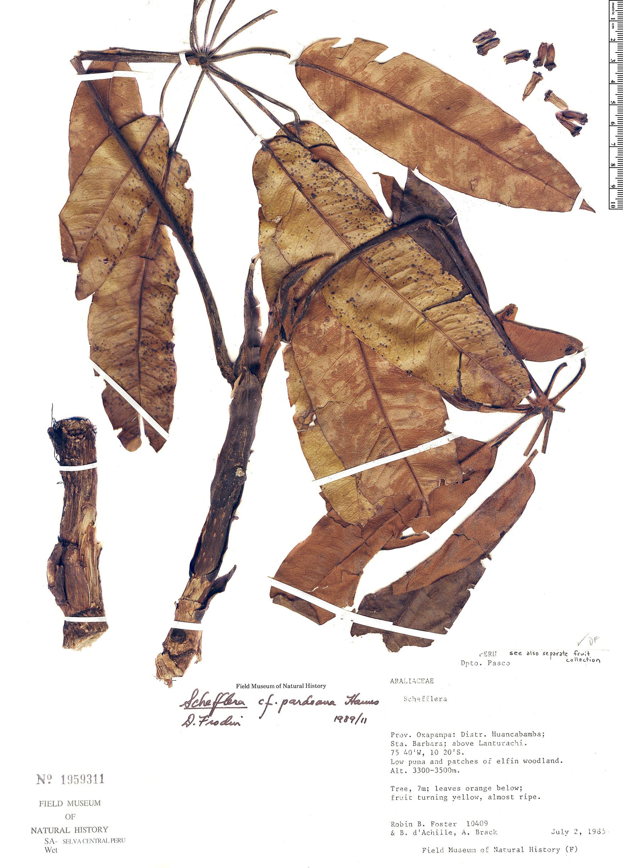 Specimen: Schefflera pardoana