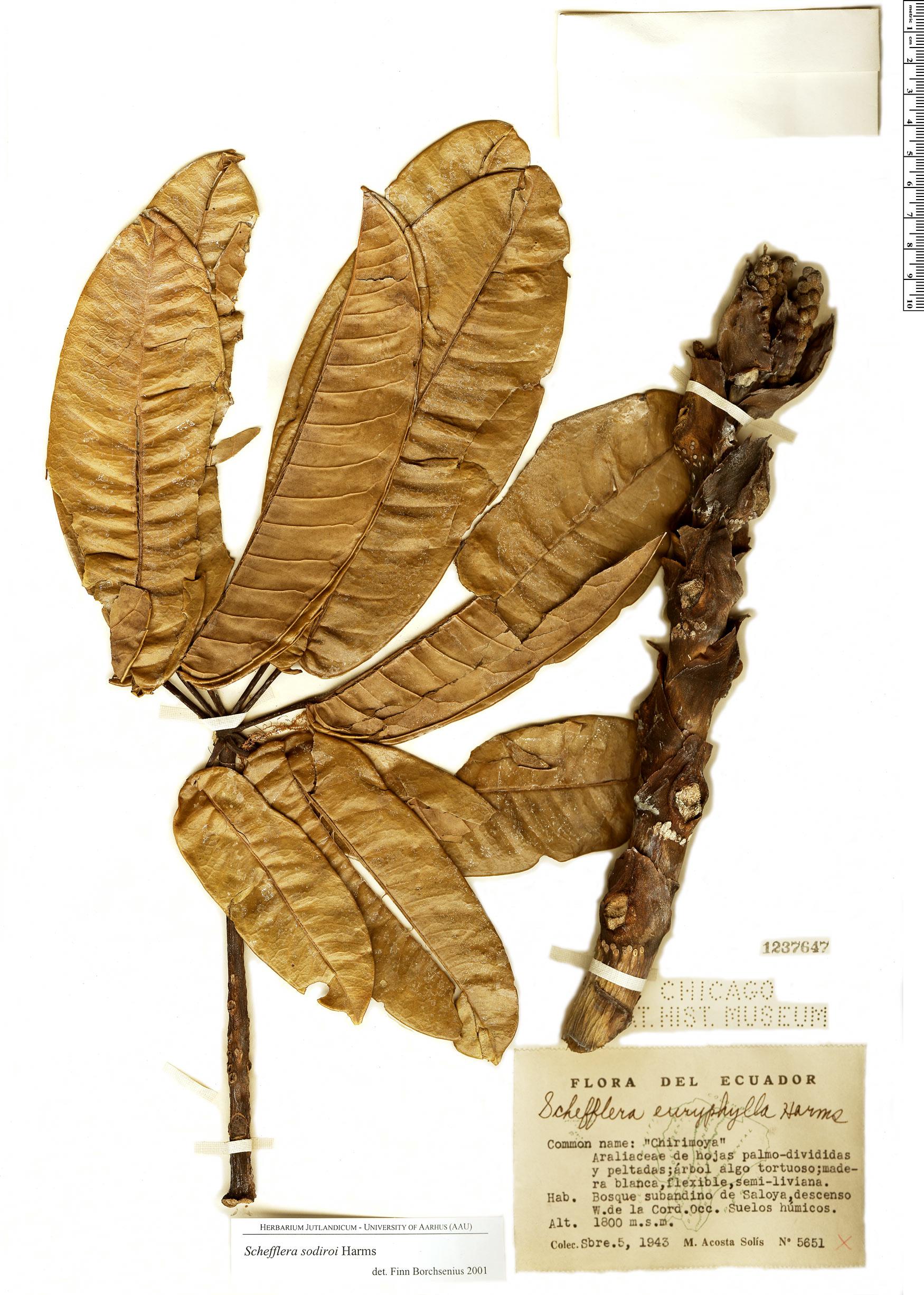 Specimen: Schefflera sodiroi