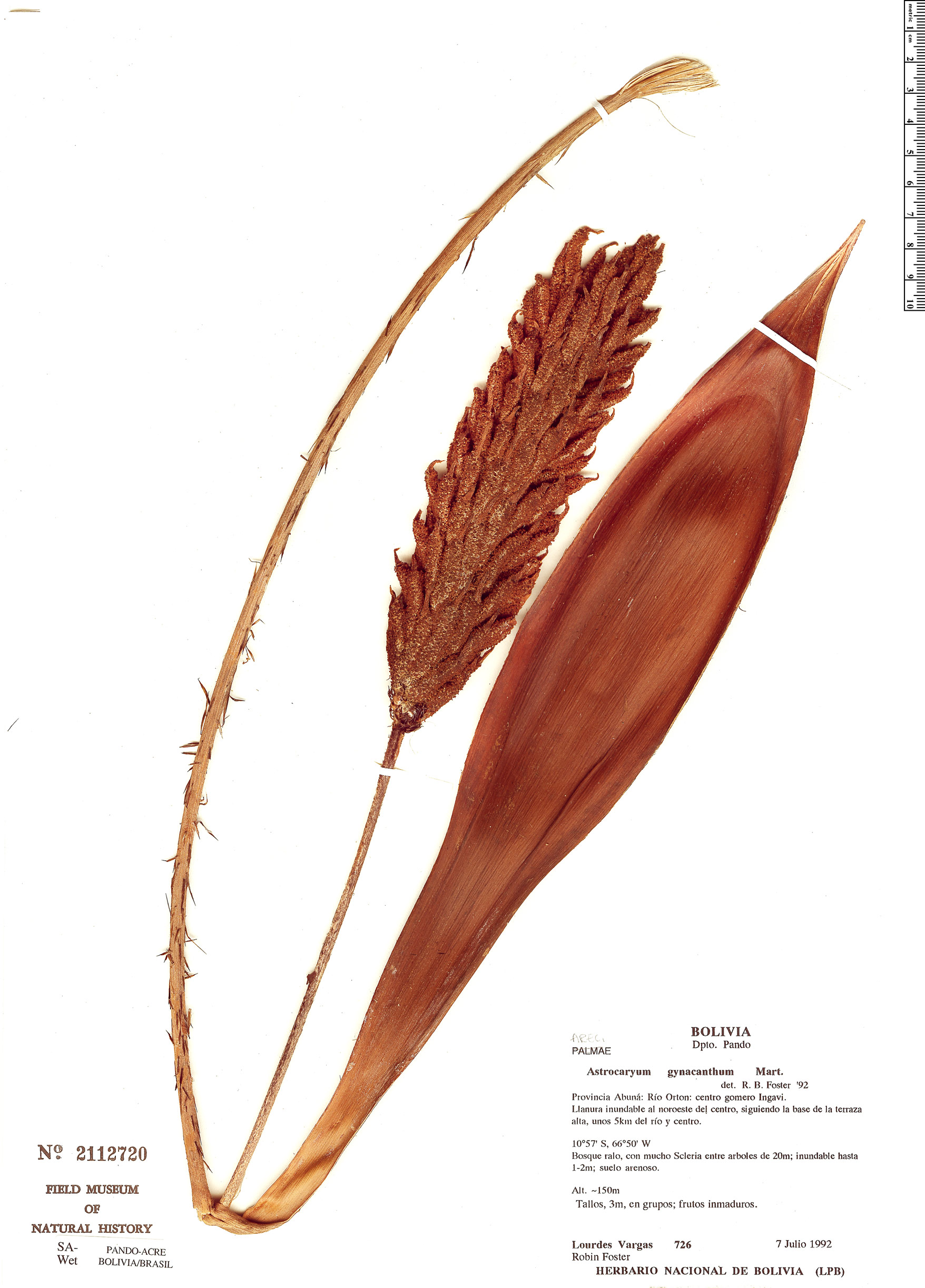 Specimen: Astrocaryum gynacanthum
