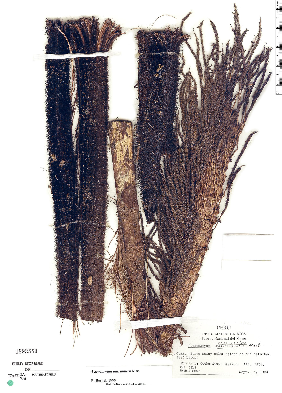 Specimen: Astrocaryum murumuru