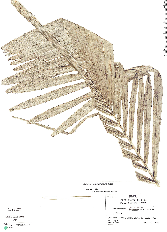 Espécimen: Astrocaryum murumuru