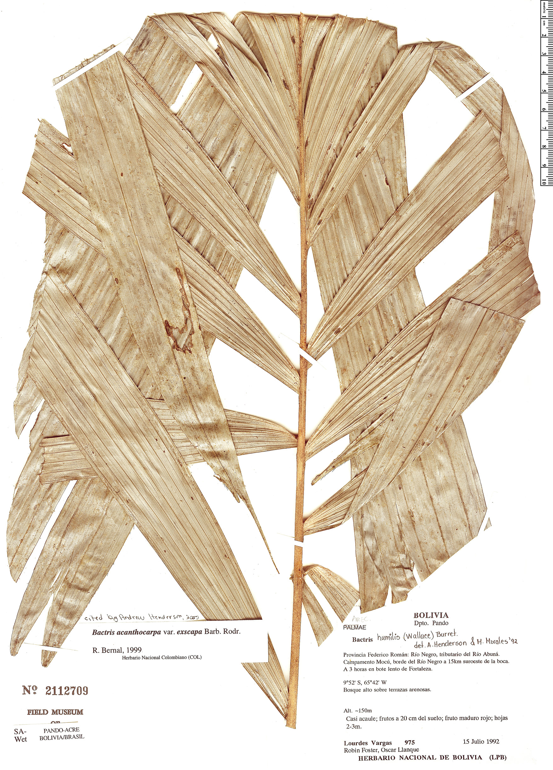 Search Results Bactris Acanthocarpa Rapid Reference