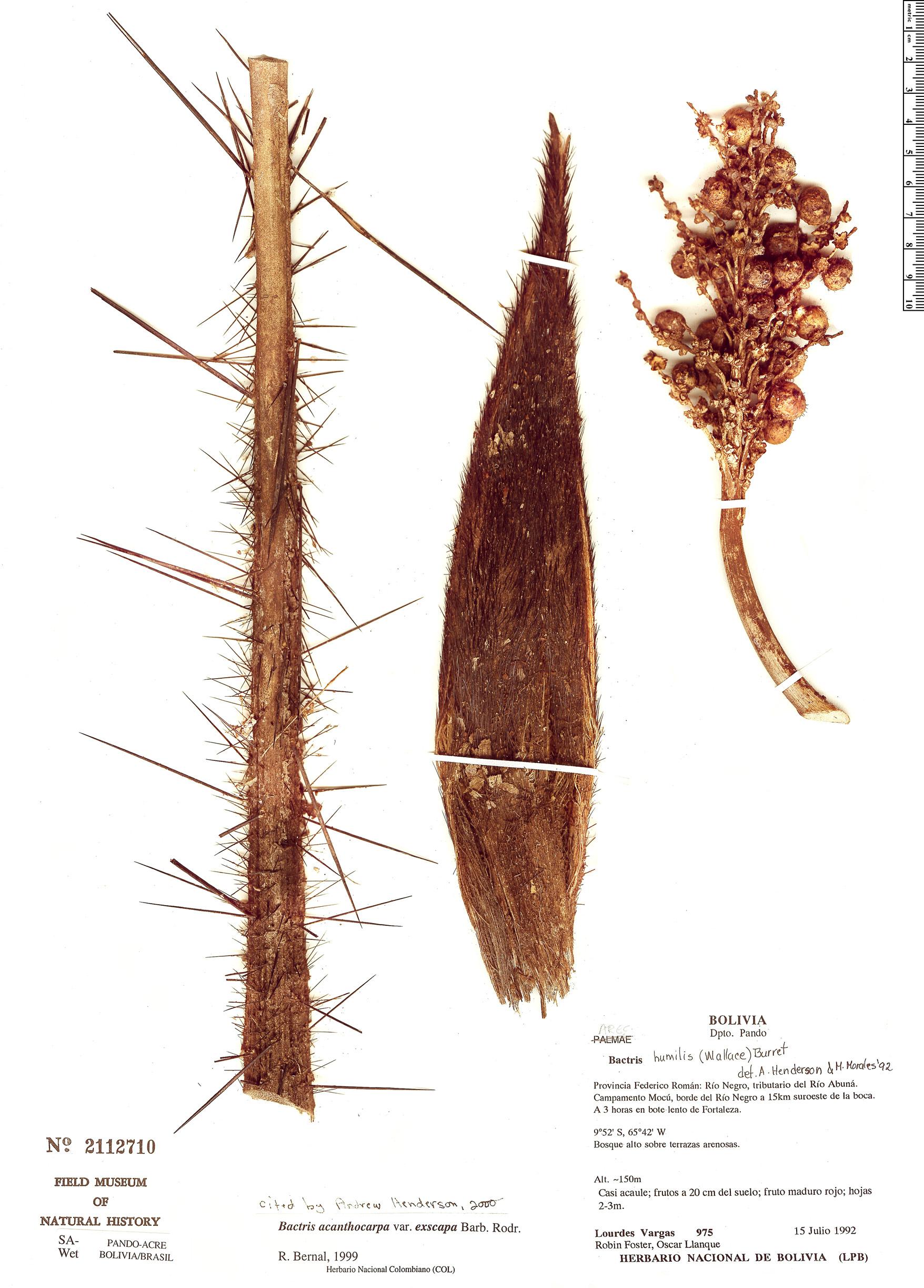 Specimen: Bactris acanthocarpa