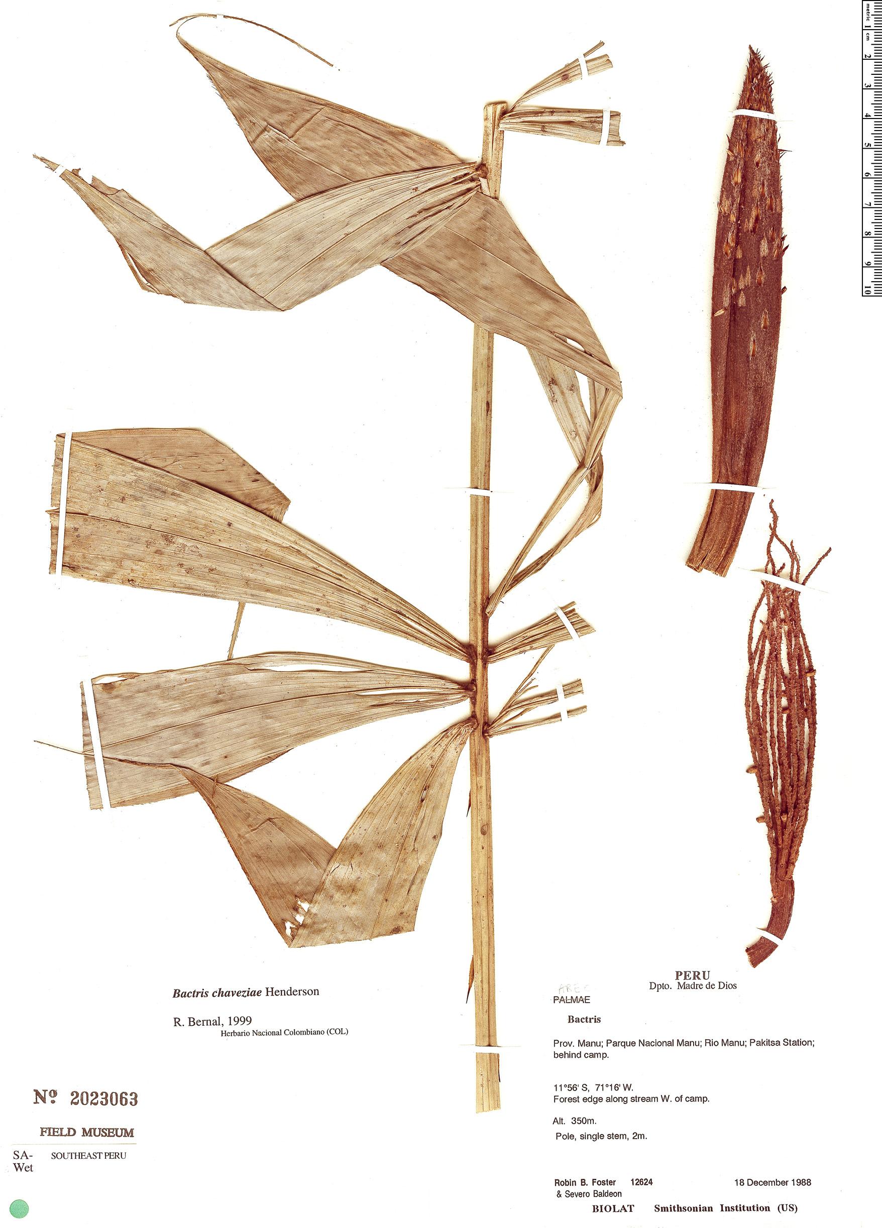 Specimen: Bactris chaveziae