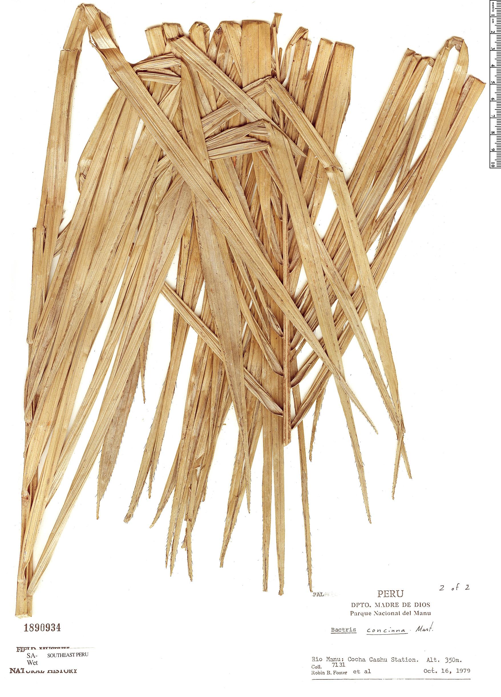 Specimen: Bactris concinna