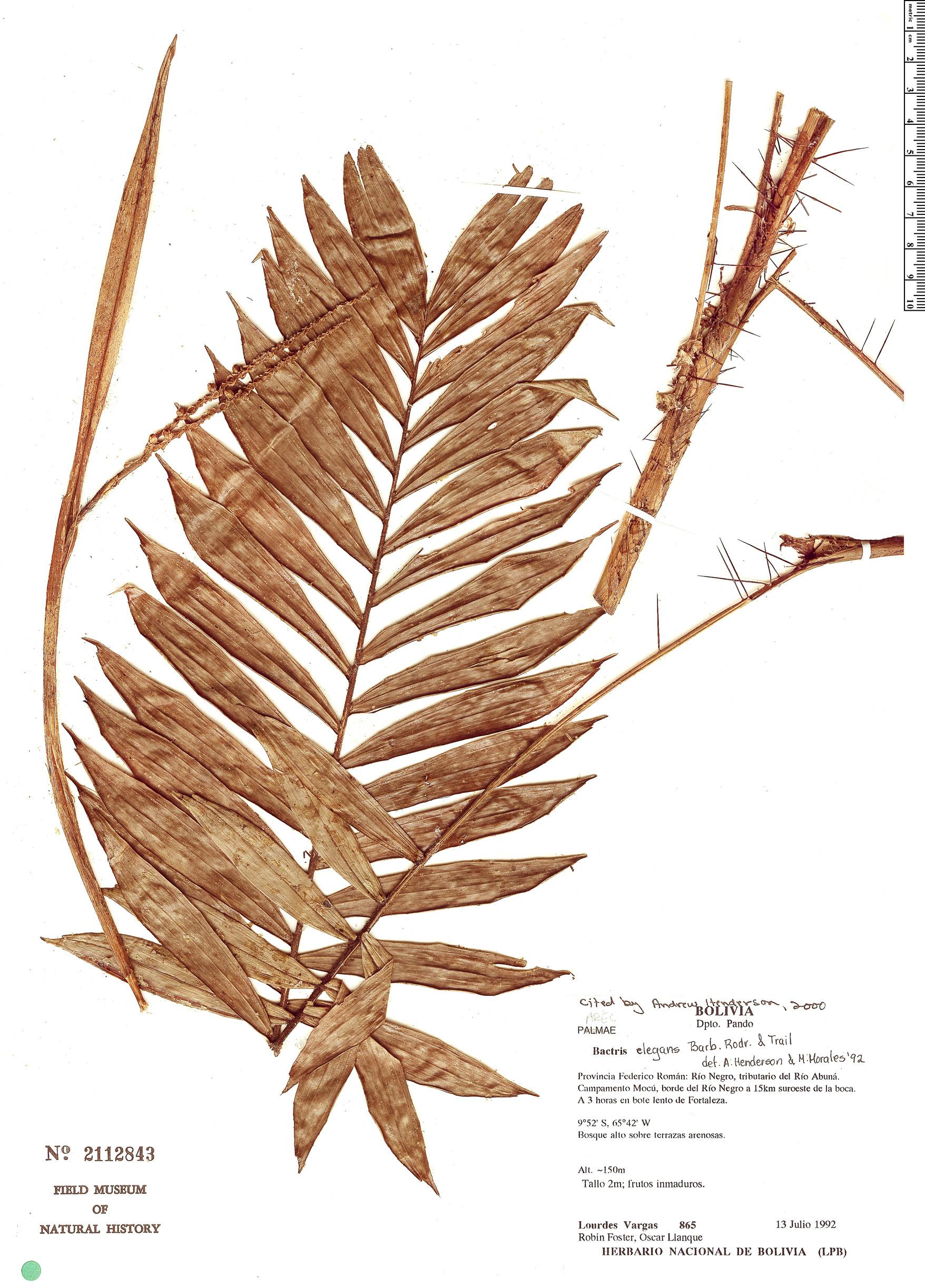Espécimen: Bactris elegans
