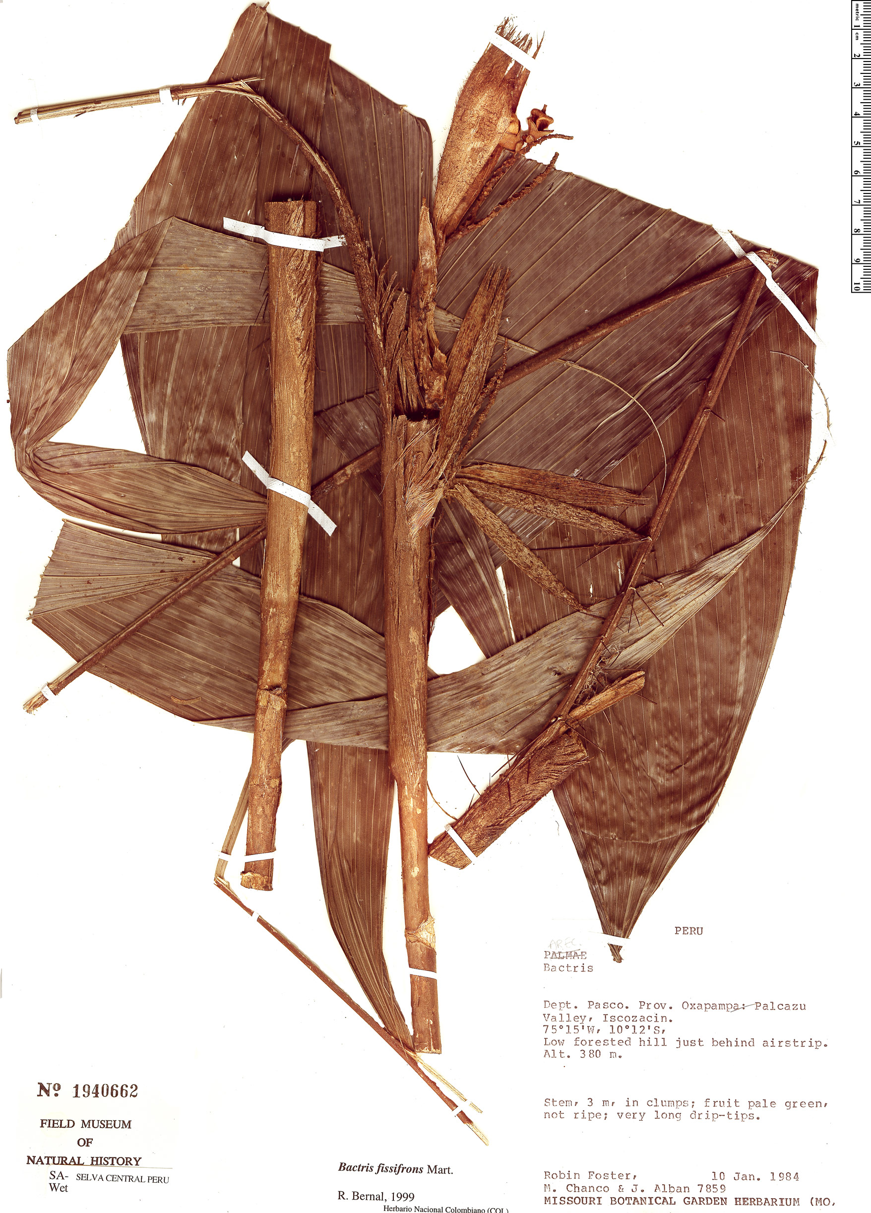 Specimen: Bactris fissifrons
