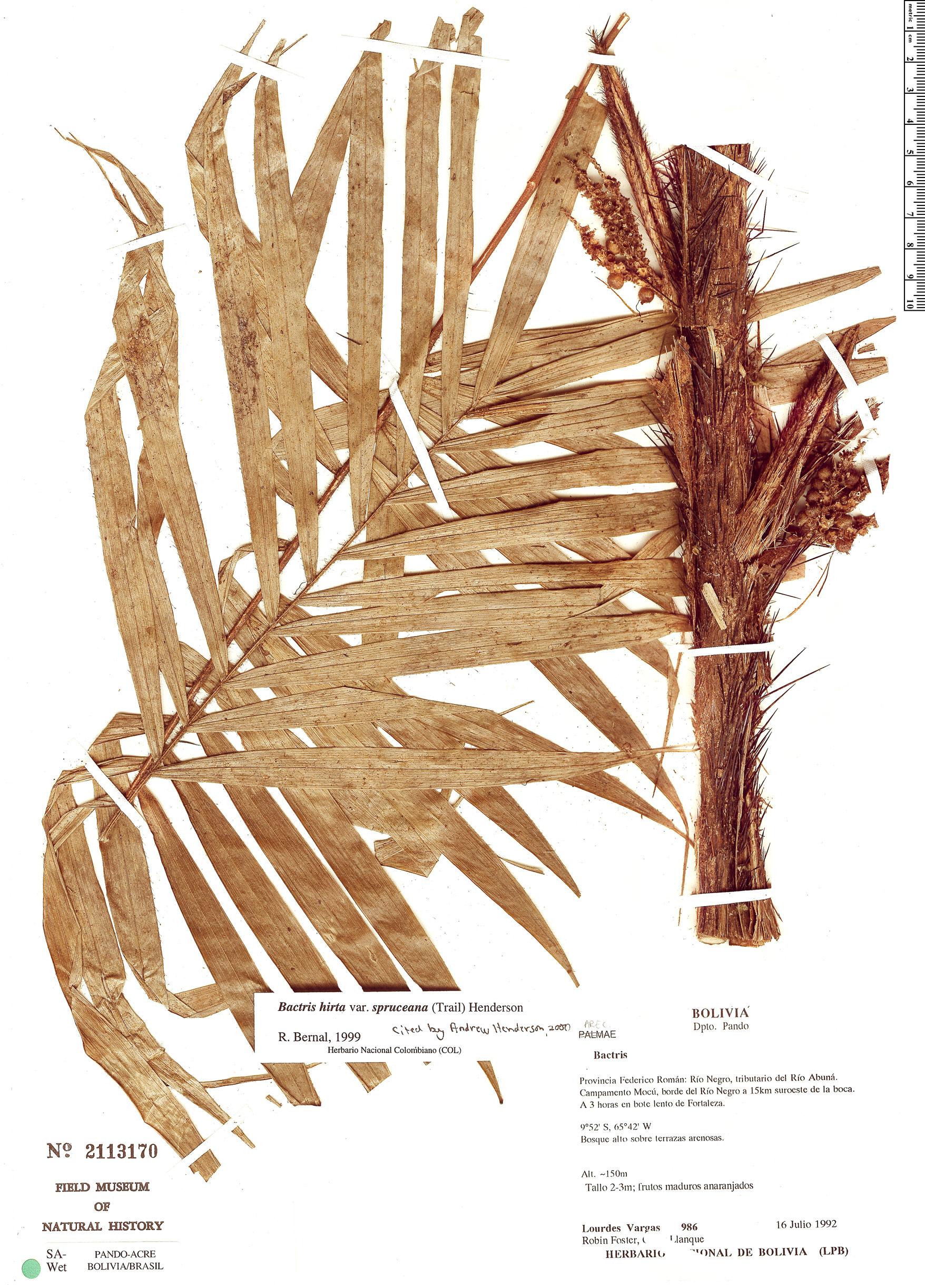 Specimen: Bactris hirta