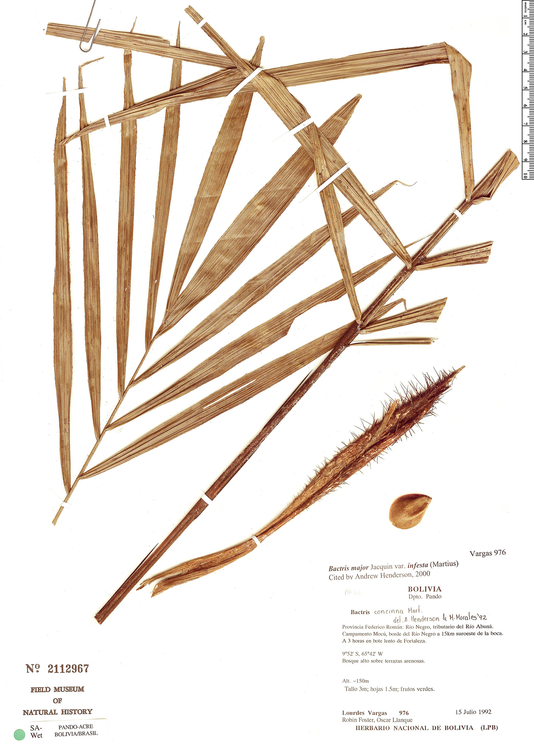 Specimen: Bactris major
