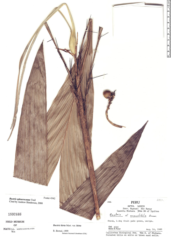 Specimen: Bactris sphaerocarpa