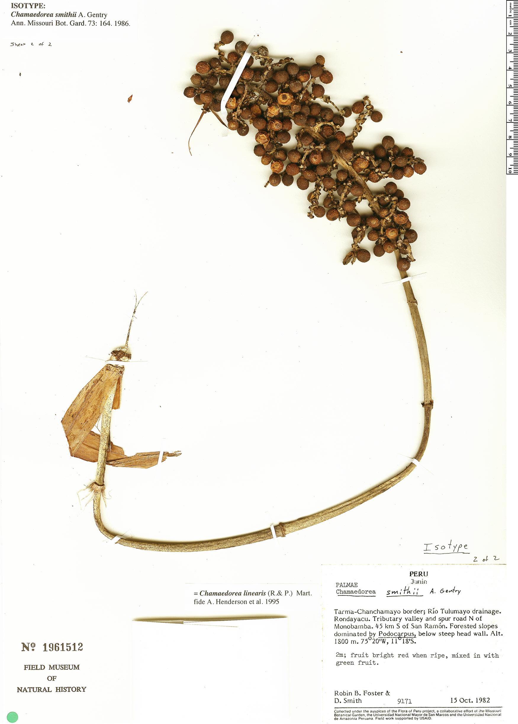 Specimen: Chamaedorea linearis